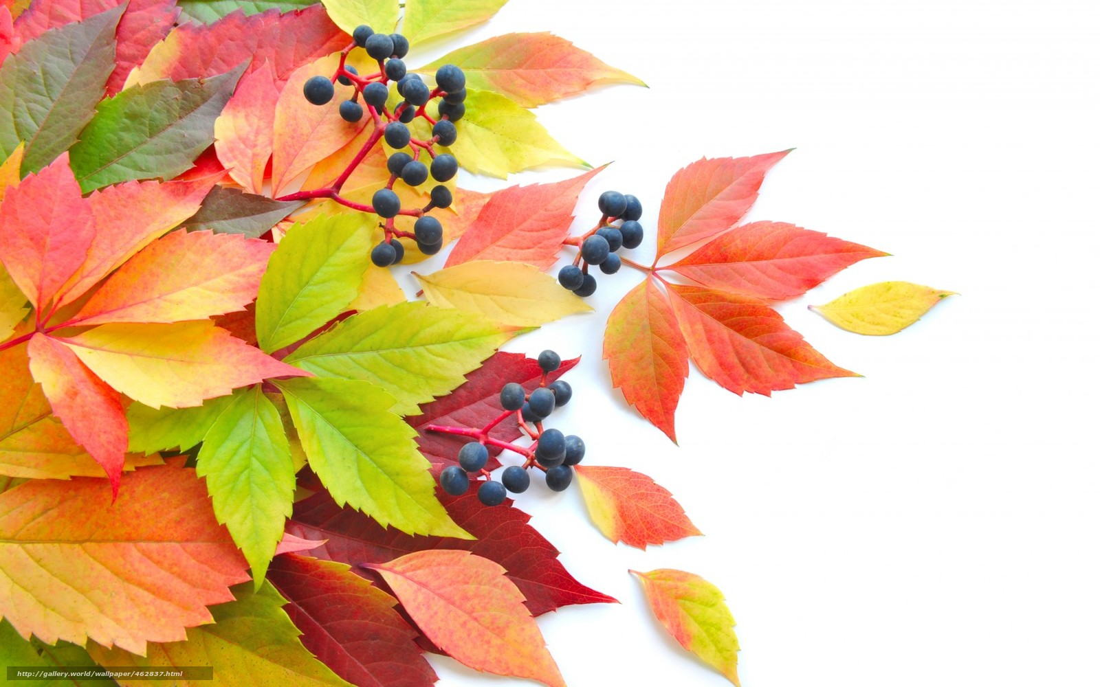 Download wallpaper leaves,  foliage,  Berries,  autumn free desktop wallpaper in the resolution 1680x1050 — picture №462837