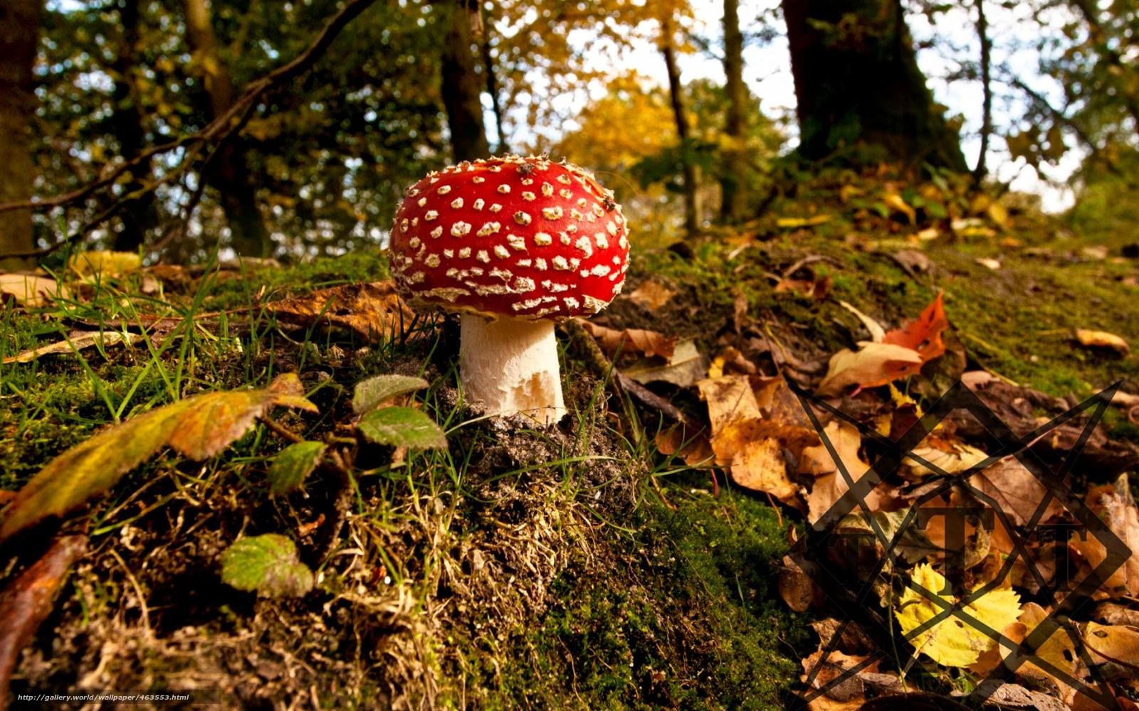 Scaricare gli sfondi autunno foresta fungo amanita for Autunno sfondi desktop