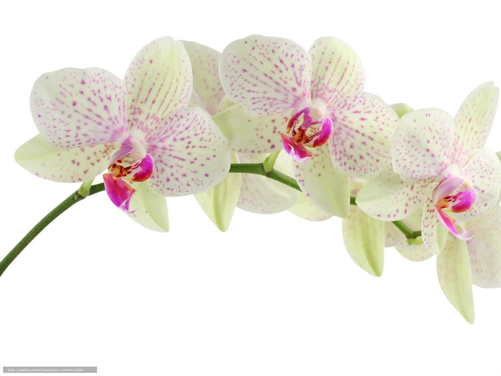 Скачать обои белая,  орхидея,  цветы,  красота бесплатно для рабочего стола в разрешении 1600x1200 — картинка №463961