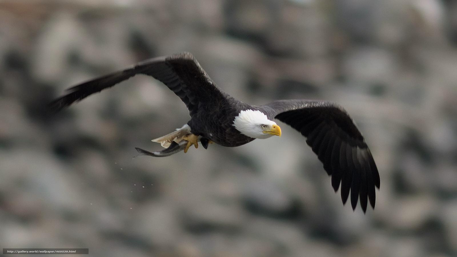 Tlcharger Fond Decran Oiseau Pygargue Tte Blanche