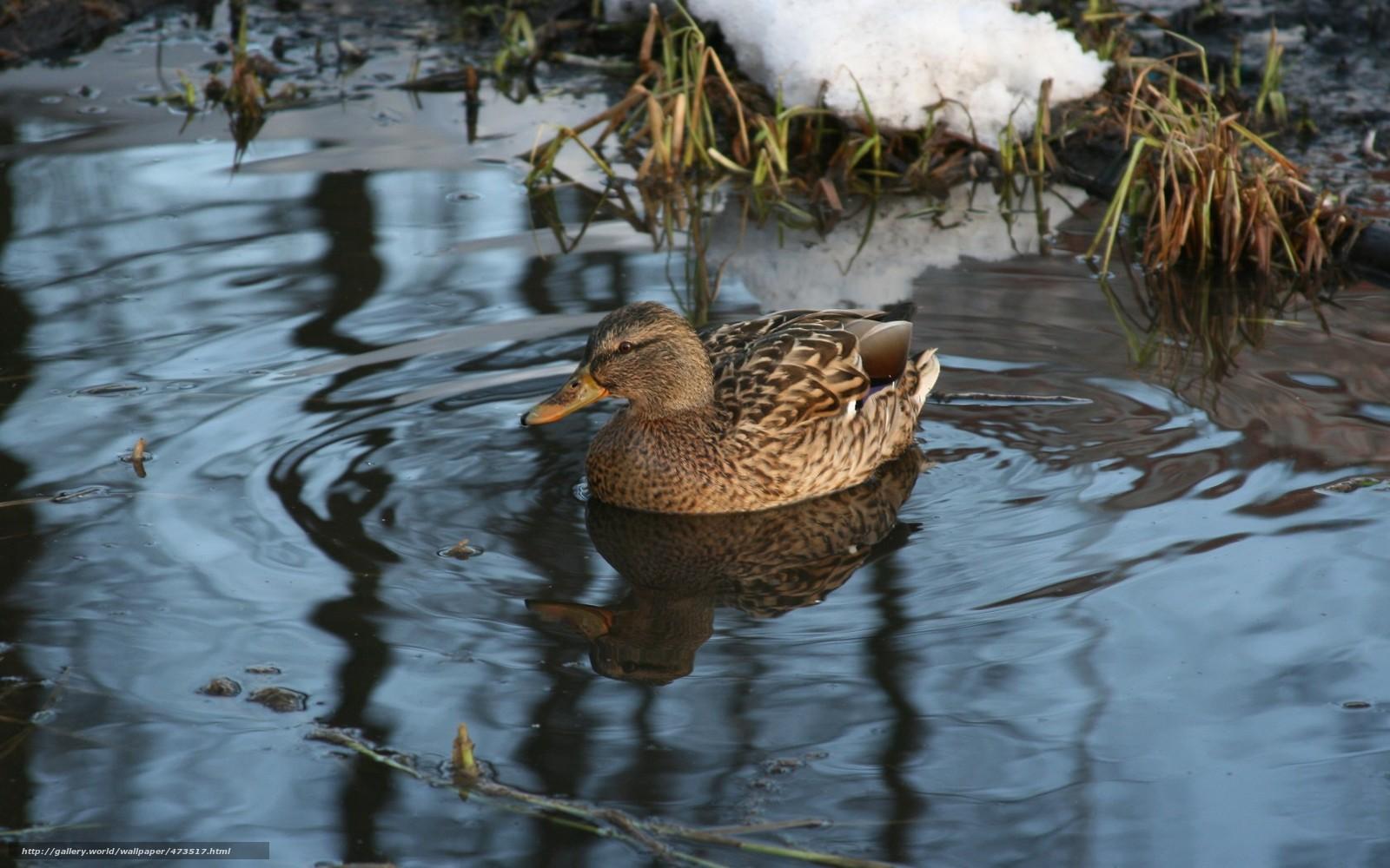 Tlcharger fond d 39 ecran animaux oiseaux canard hiver for Fond ecran hiver animaux