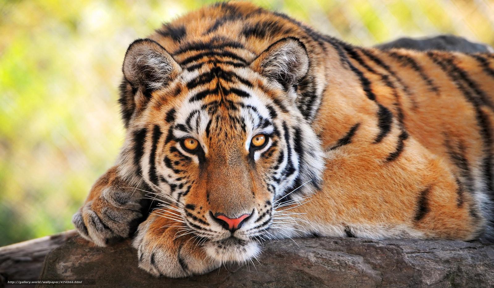 Tlcharger fond d 39 ecran tigre chat sauvage prdateur fonds for Fond ecran gratuit animaux