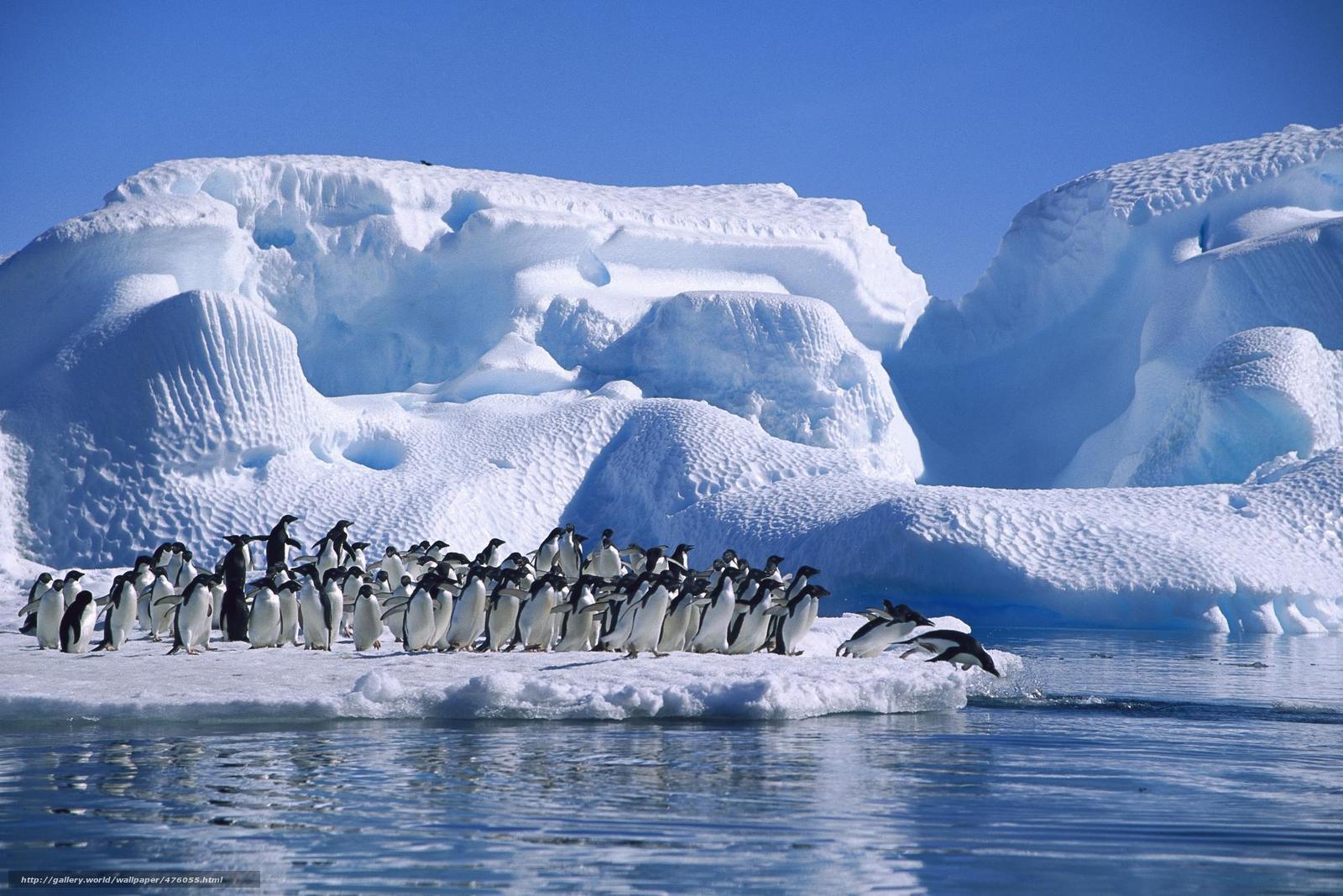 Скачать обои adelie penguin,  antarctica,  sea,  ice бесплатно для рабочего стола в разрешении 1999x1333 — картинка №476055