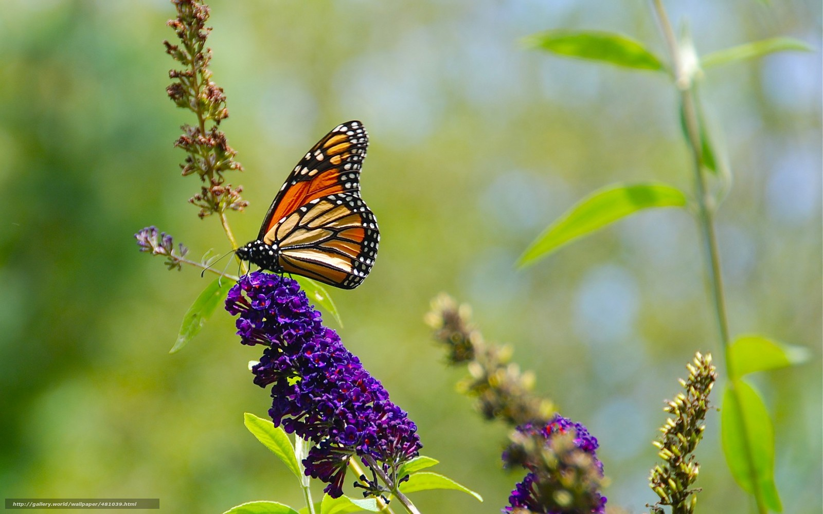 Download Hintergrund Natur  Sommer  Greens  Schmetterling Freie on 895 html