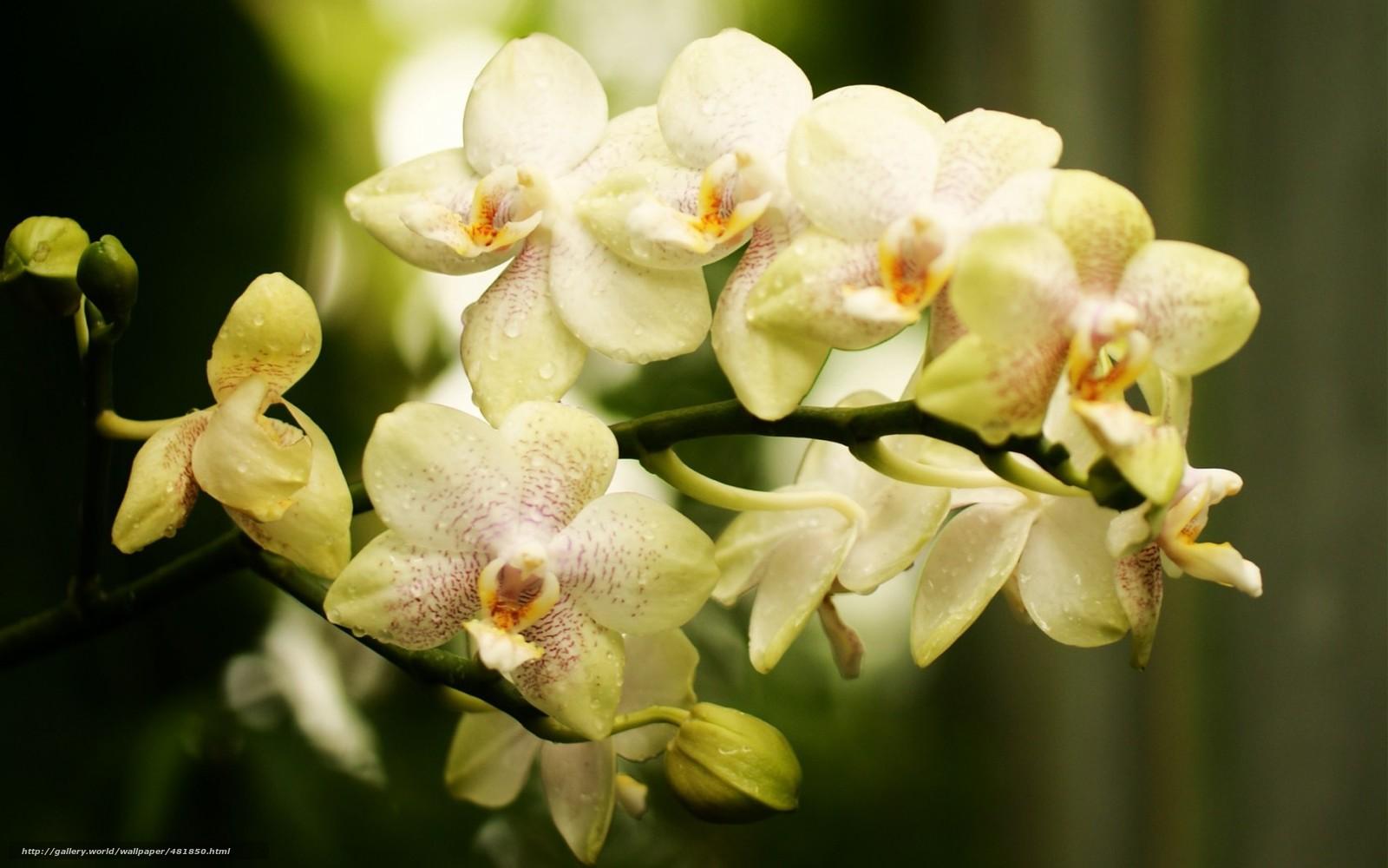 Скачать обои цветок,  ветка,  орхидея,  фалинопсис бесплатно для рабочего стола в разрешении 1680x1050 — картинка №481850