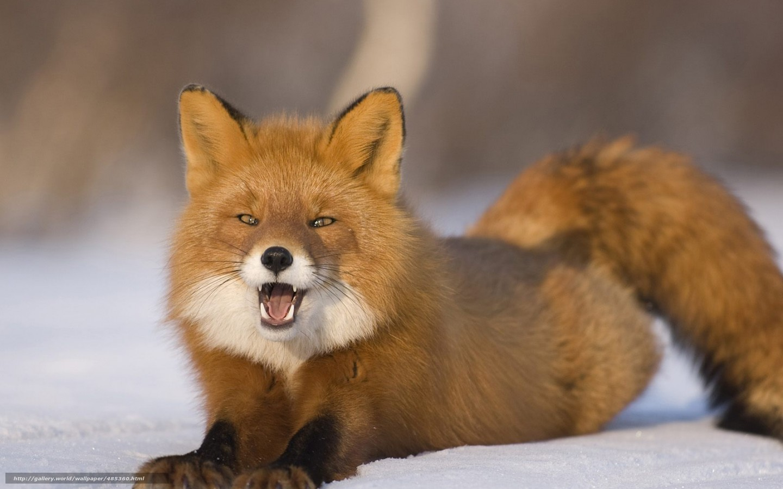 Download wallpaper fox,  snow,  Winter,  fox free desktop wallpaper in the resolution 1440x900 — picture №485360