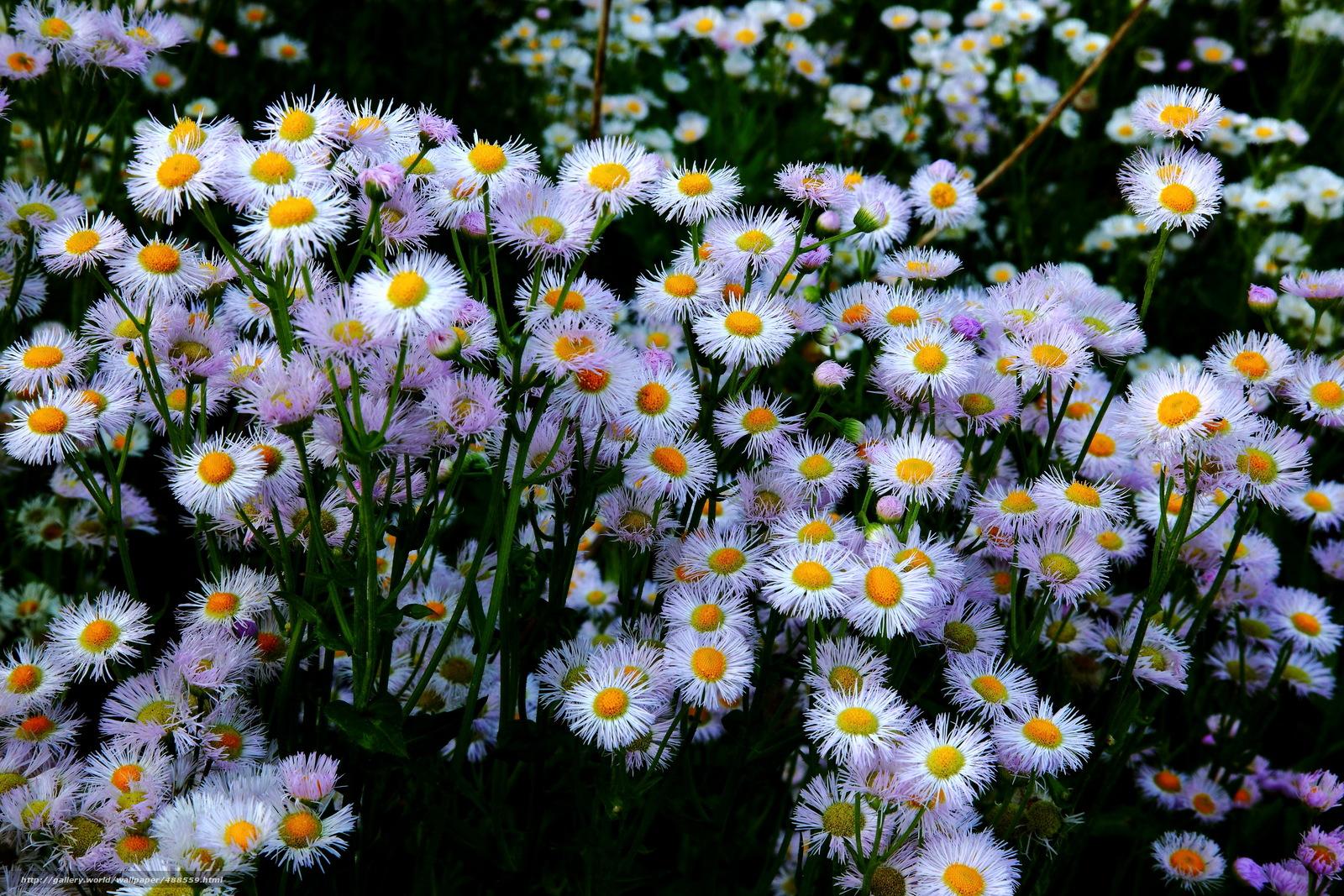 Ромашка-ромашка цветок полевой скачать бесплатно