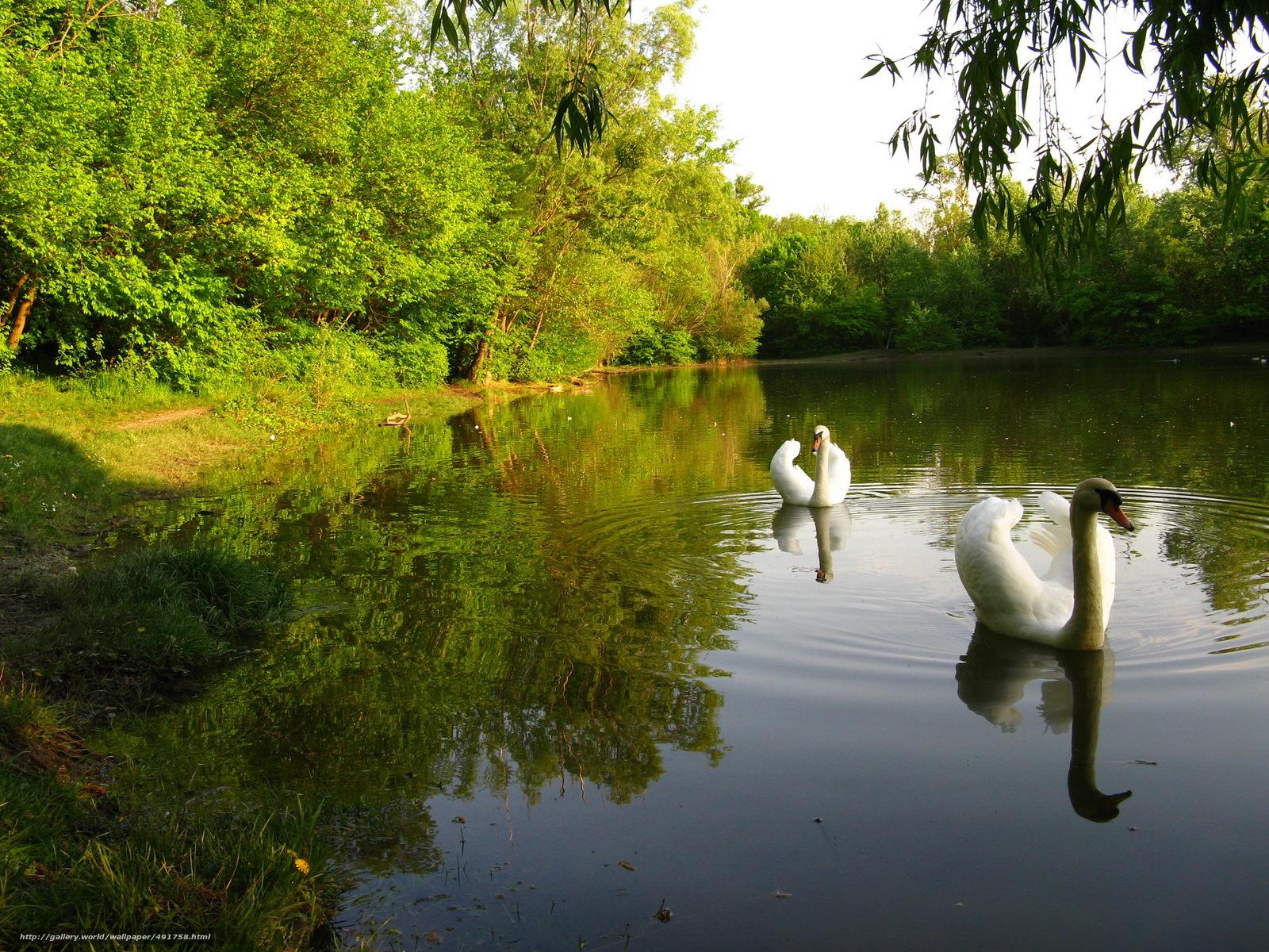 Tlcharger Fond d'ecran Parcs,  Cygnes,  lac,  Nature Fonds d'ecran gratuits pour votre rsolution du bureau 2304x1728 — image №491758