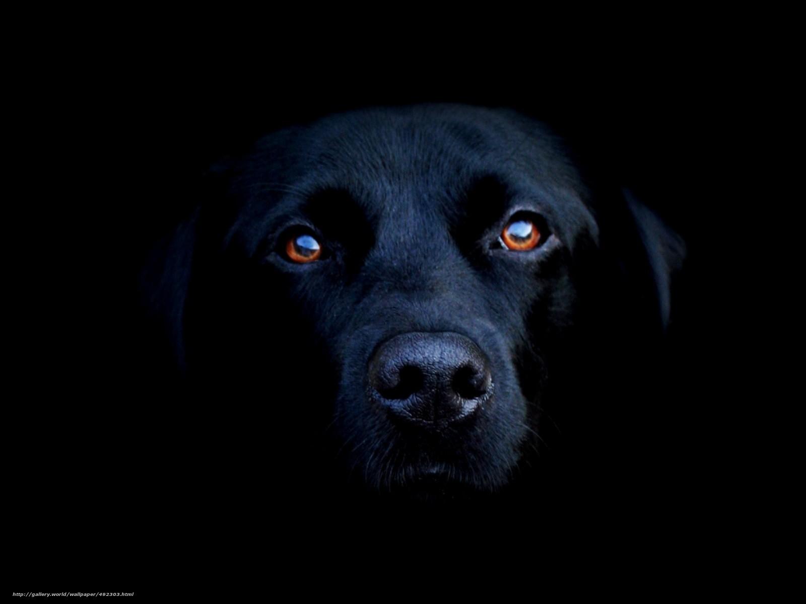 壁紙をダウンロード 犬 黒 背景 デスクトップの解像度のための無料壁紙 1600x10 絵