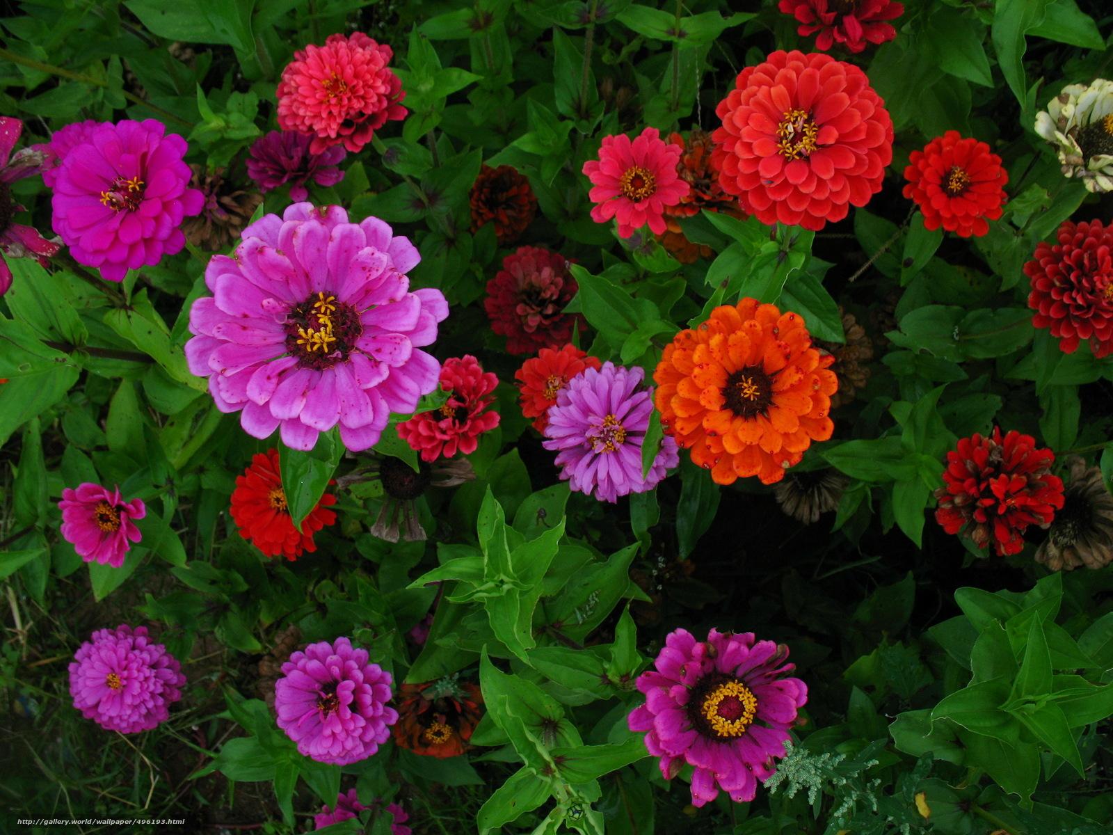 Tlcharger Fond d'ecran zinnias,  (Major),  Fleurs Fonds d'ecran gratuits pour votre rsolution du bureau 2304x1728 — image №496193