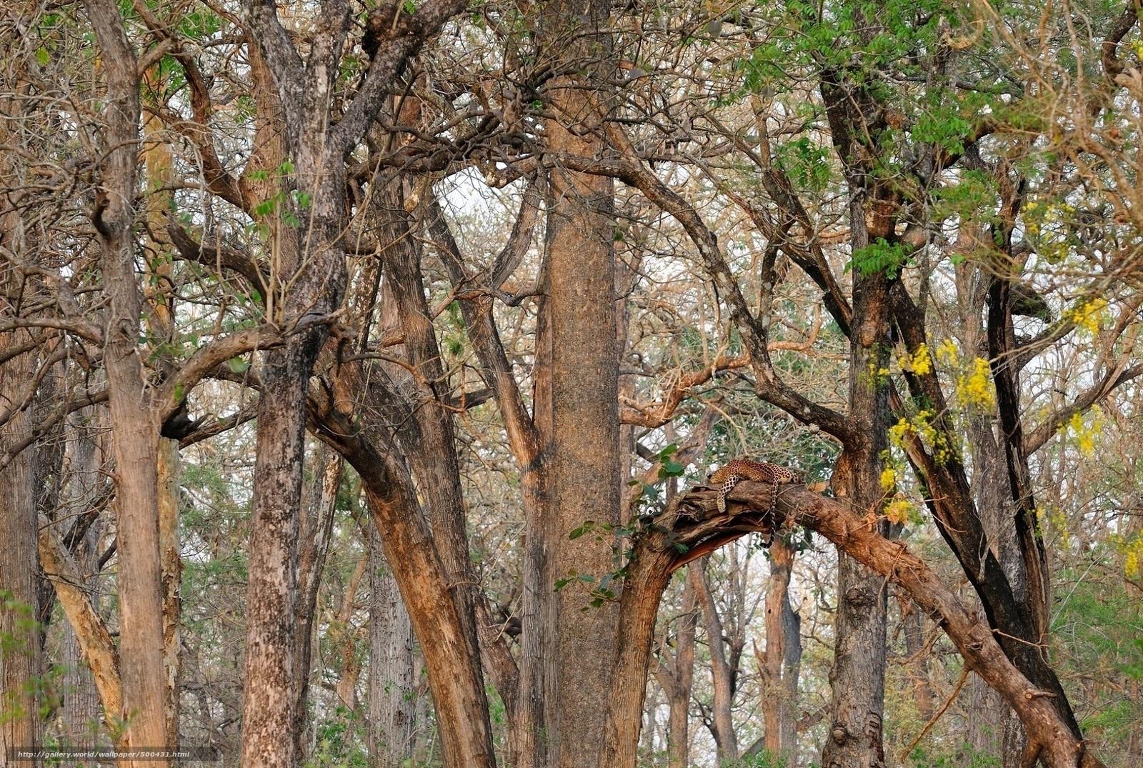 Скачать обои леопард,  дикая кошка,  маскировка,  лес бесплатно для рабочего стола в разрешении 1920x1290 — картинка №500431