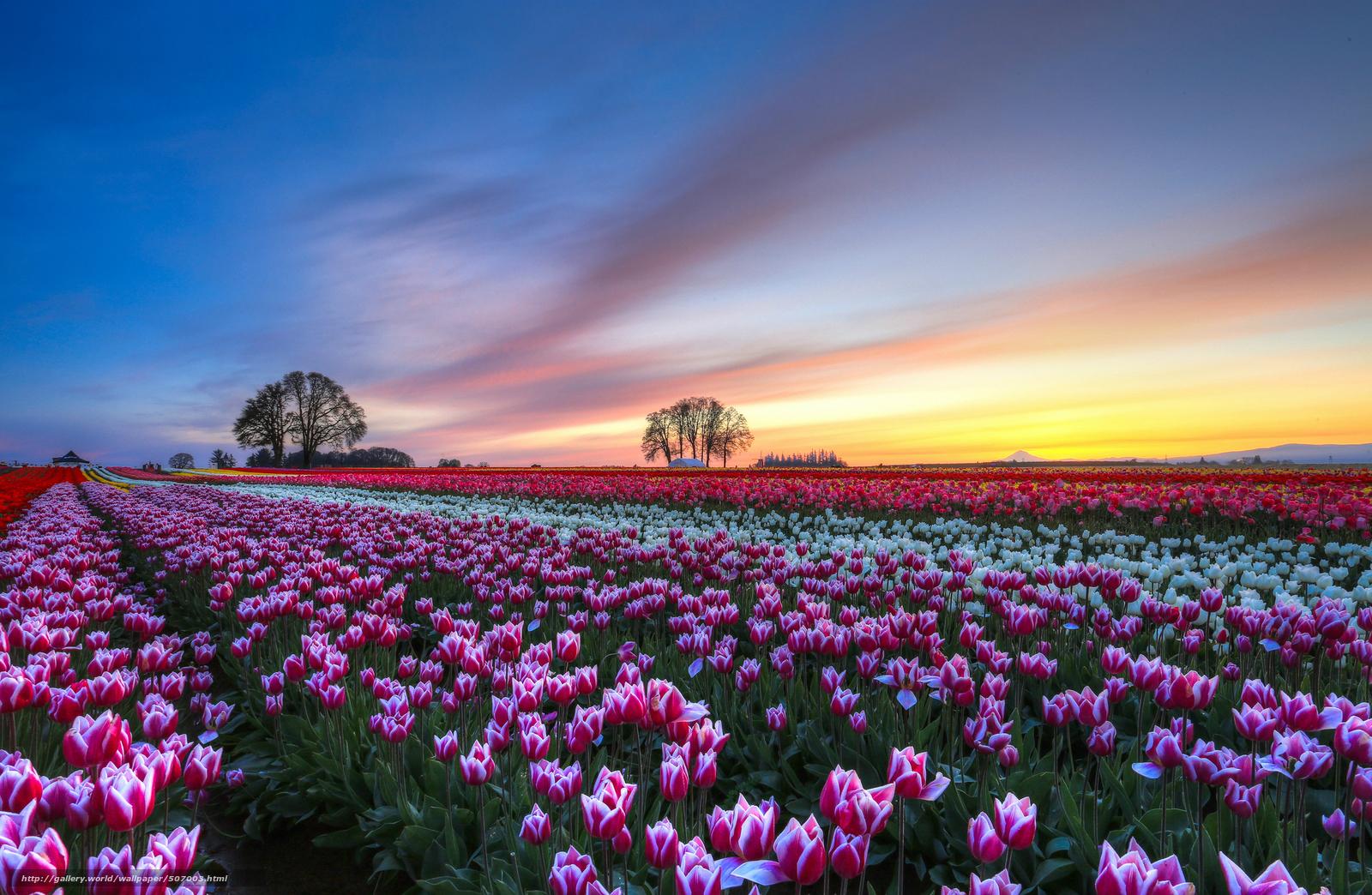 Tlcharger Fond d'ecran champ, Tulipes, Multicolore, Fleurs Fonds d'ecran gratuits pour votre ...