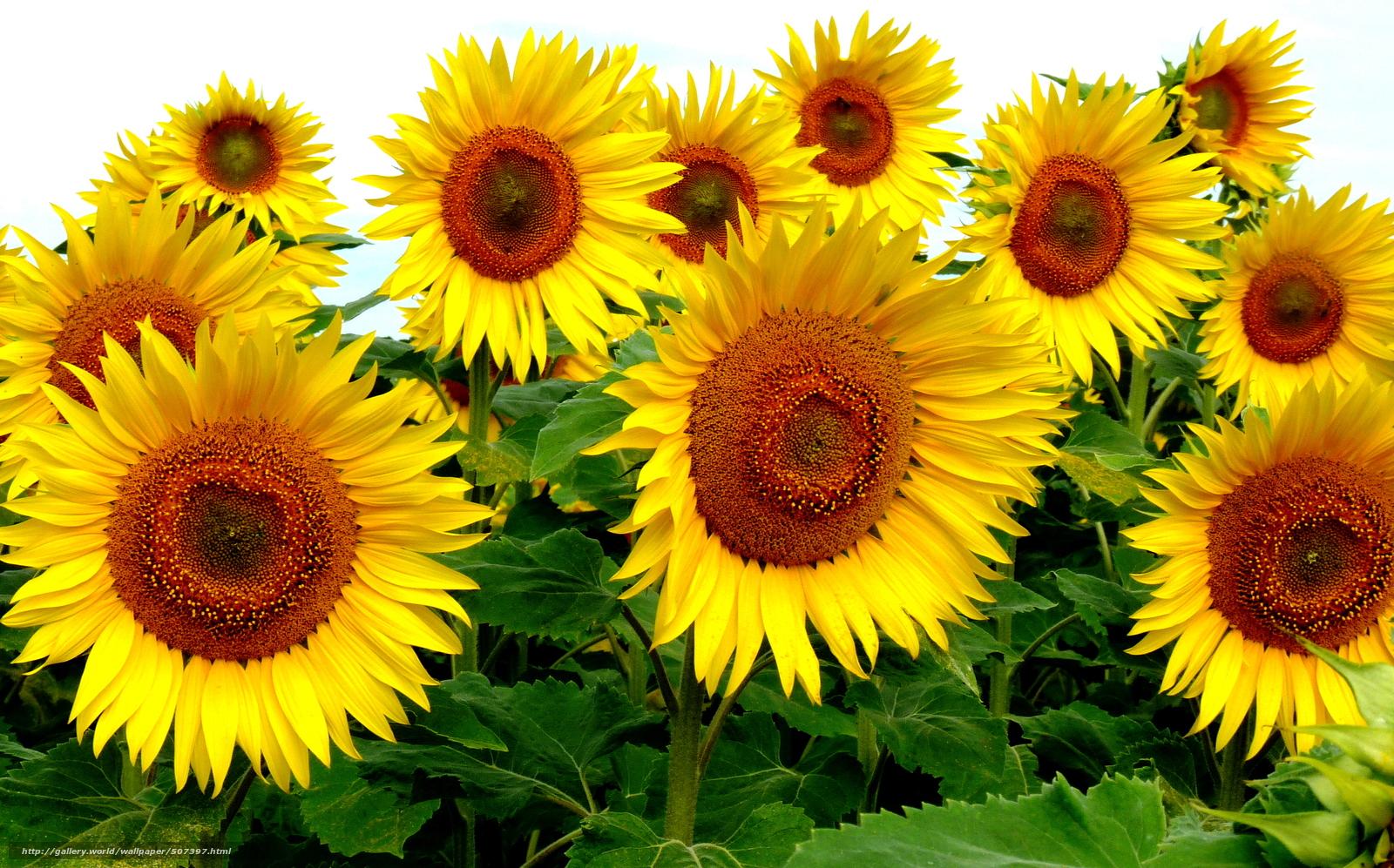 Цветы подсолнуха картинки