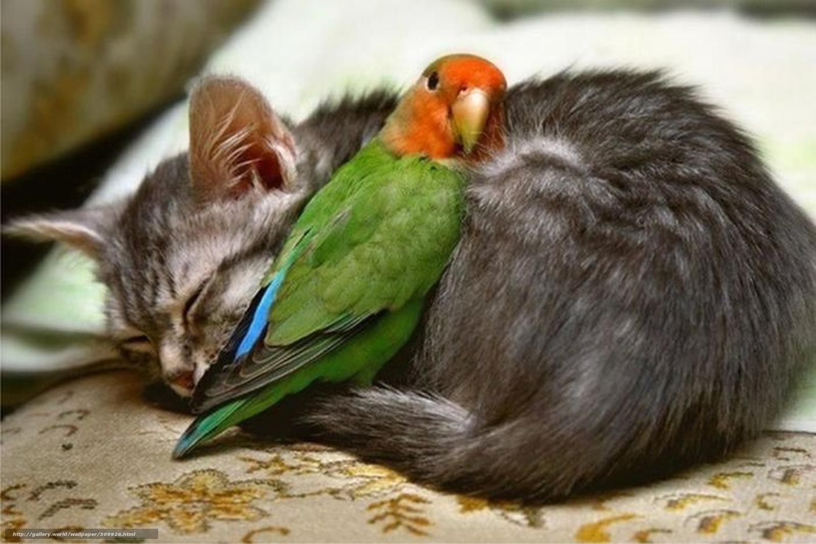 Descargar gratis gatito,  loro,  Amigos Fondos de escritorio en la resolucin 1920x1281 — imagen №509926
