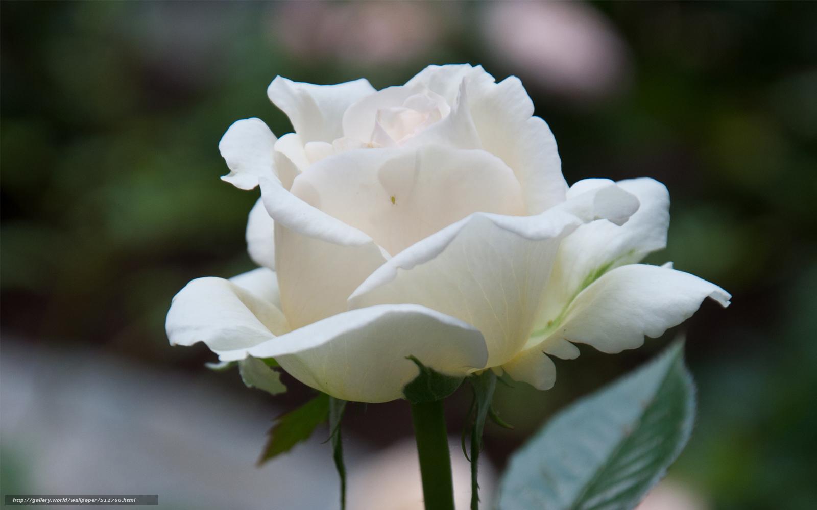Белая роза в спб запись