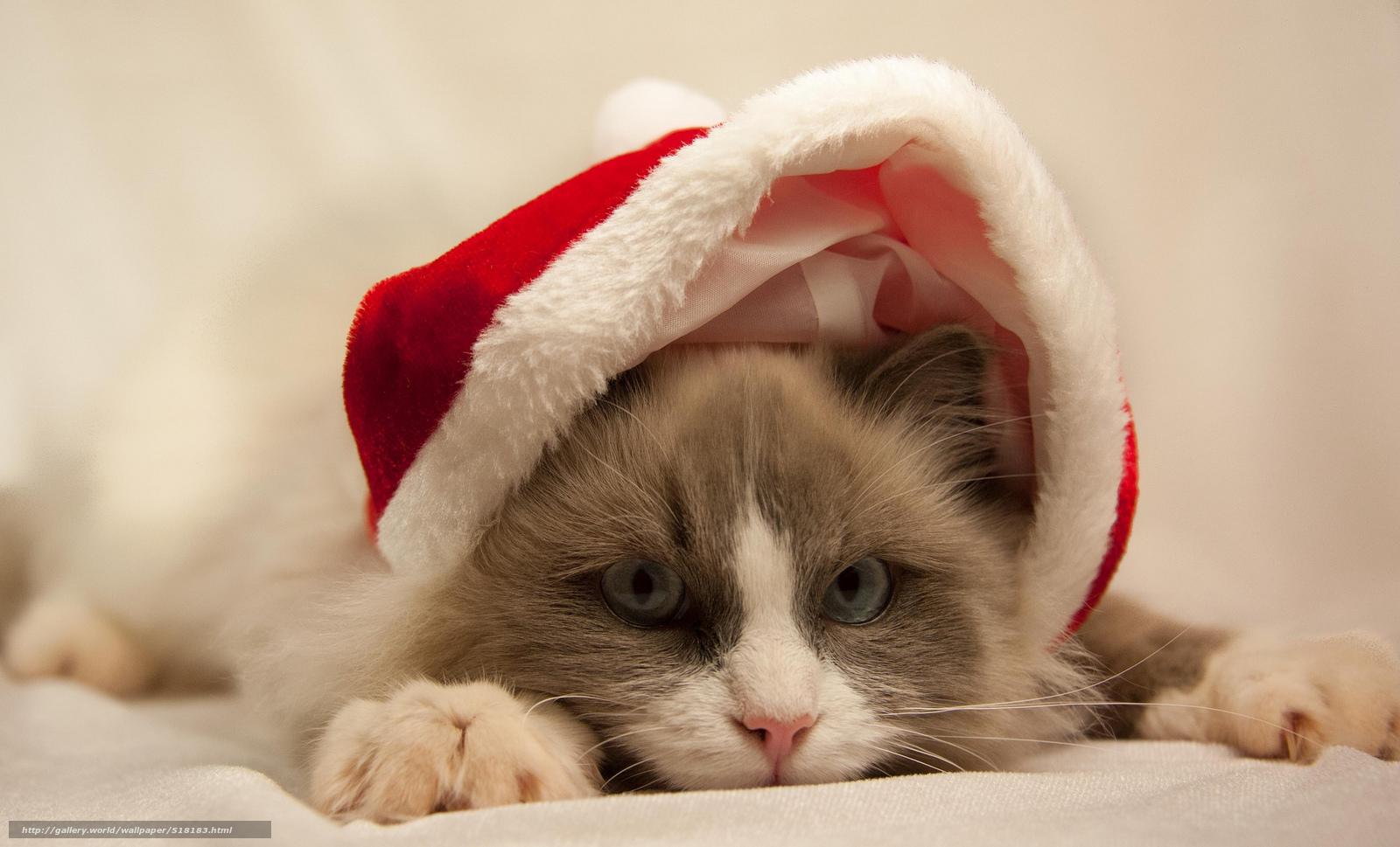 Скачать обои шапка,  кошка,  серый,  голубые бесплатно для рабочего стола в разрешении 2048x1240 — картинка №518183