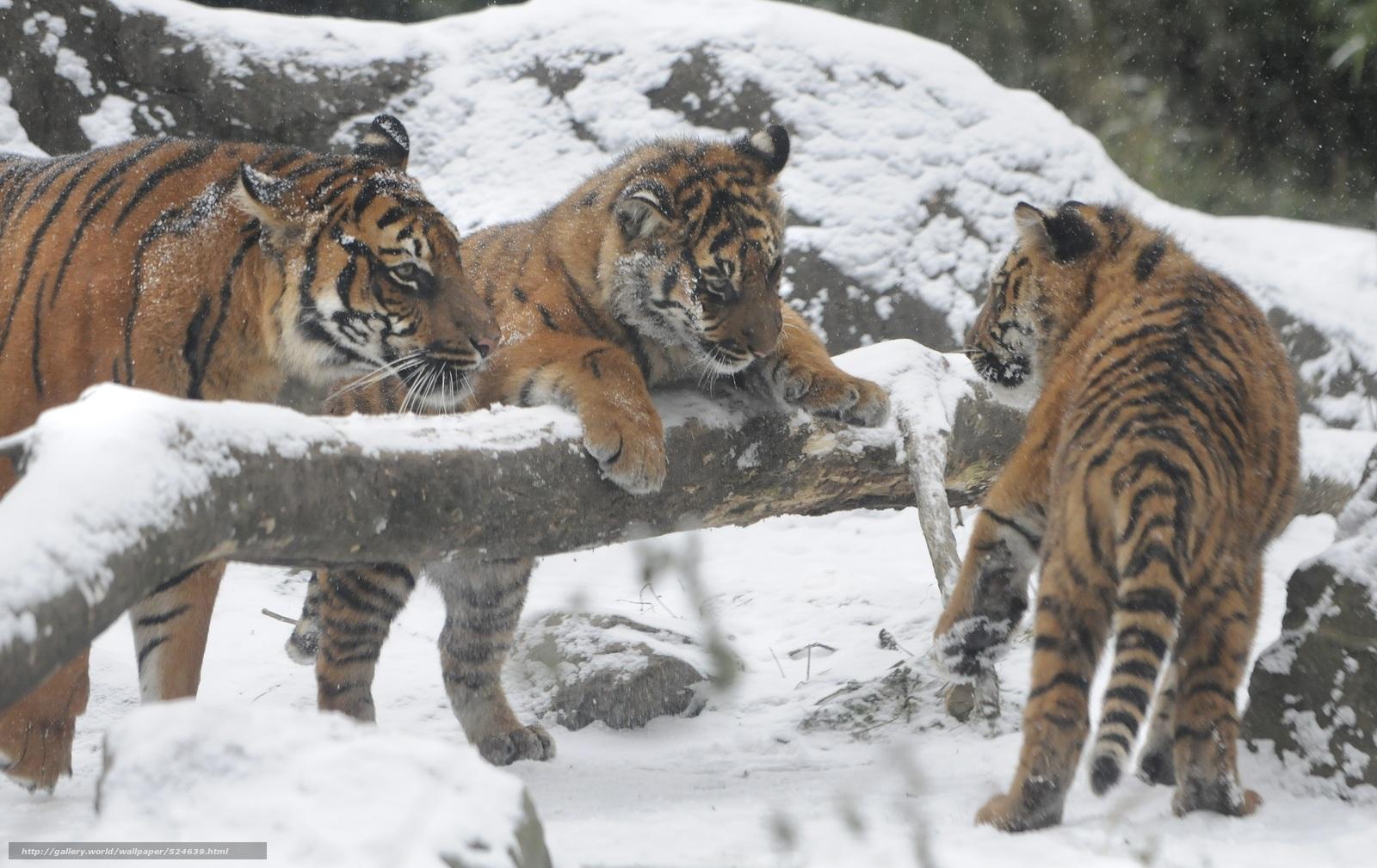 Descargar gratis Tigre siberiano,  Tigres,  cachorros,  cachorros Fondos de escritorio en la resolucin 3000x1892 — imagen №524639