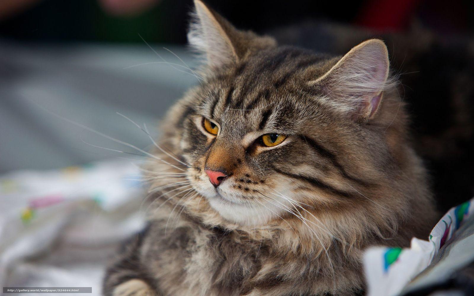 Скачать обои полосатый,  кот,  взгляд бесплатно для рабочего стола в разрешении 1920x1200 — картинка №524644