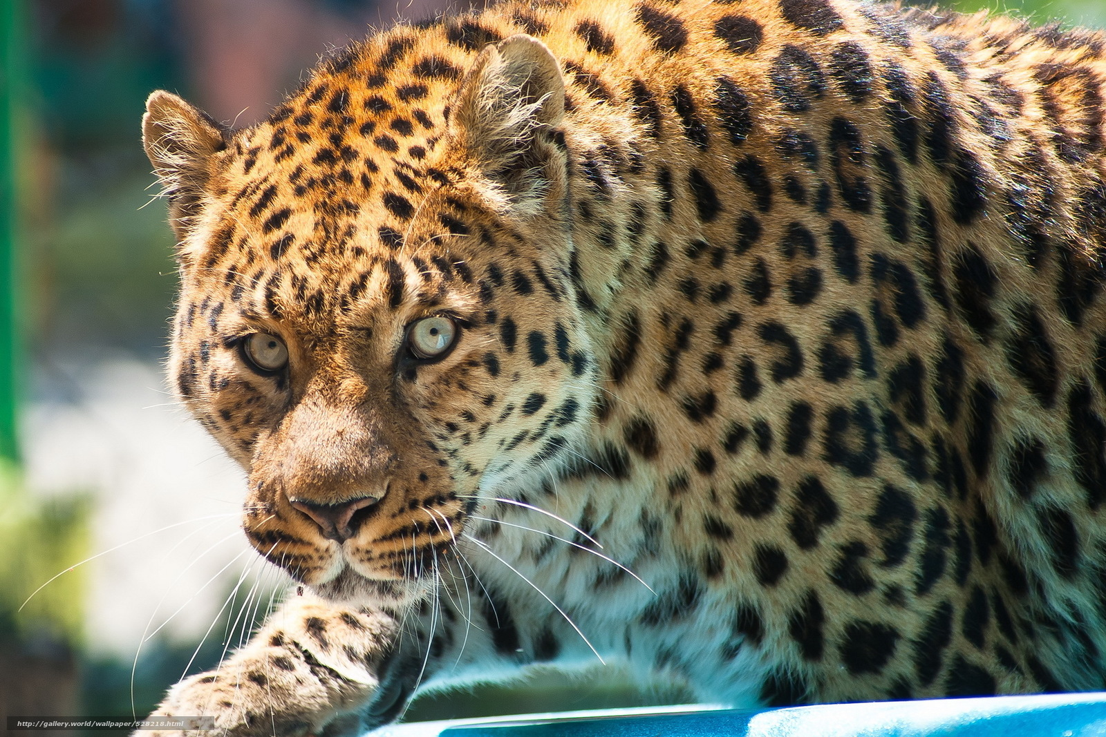 Скачать обои леопард,  leopard,  морда,  взгляд бесплатно для рабочего стола в разрешении 1920x1280 — картинка №528218