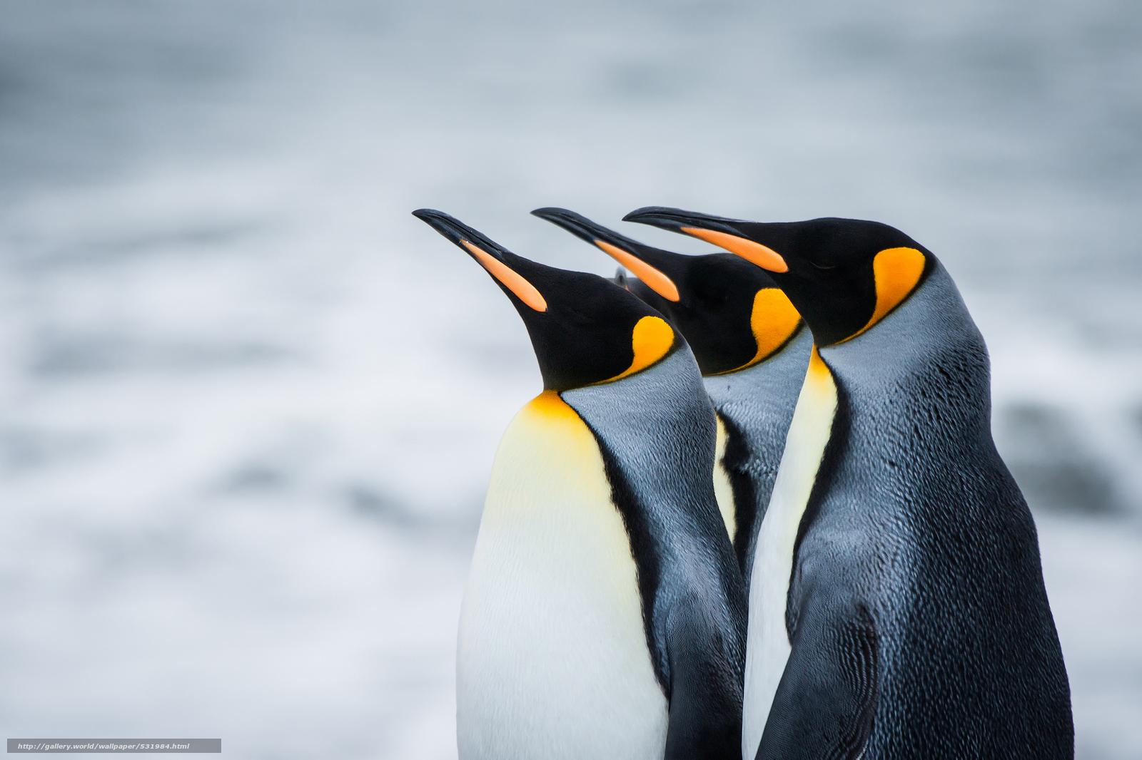 Скачать обои пингвины,  королевские,  Антарктика,  Южная Георгия бесплатно для рабочего стола в разрешении 2048x1365 — картинка №531984