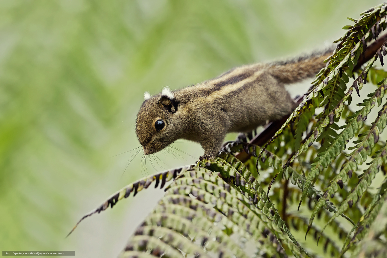 Download wallpaper background, Himalayan striped squirrel ...