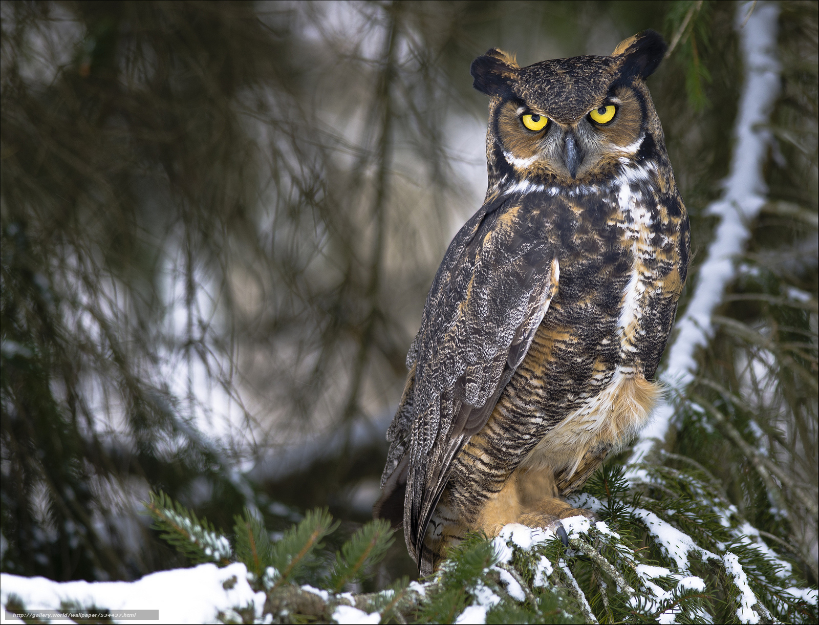 download wallpaper great horned owl virginia owl free