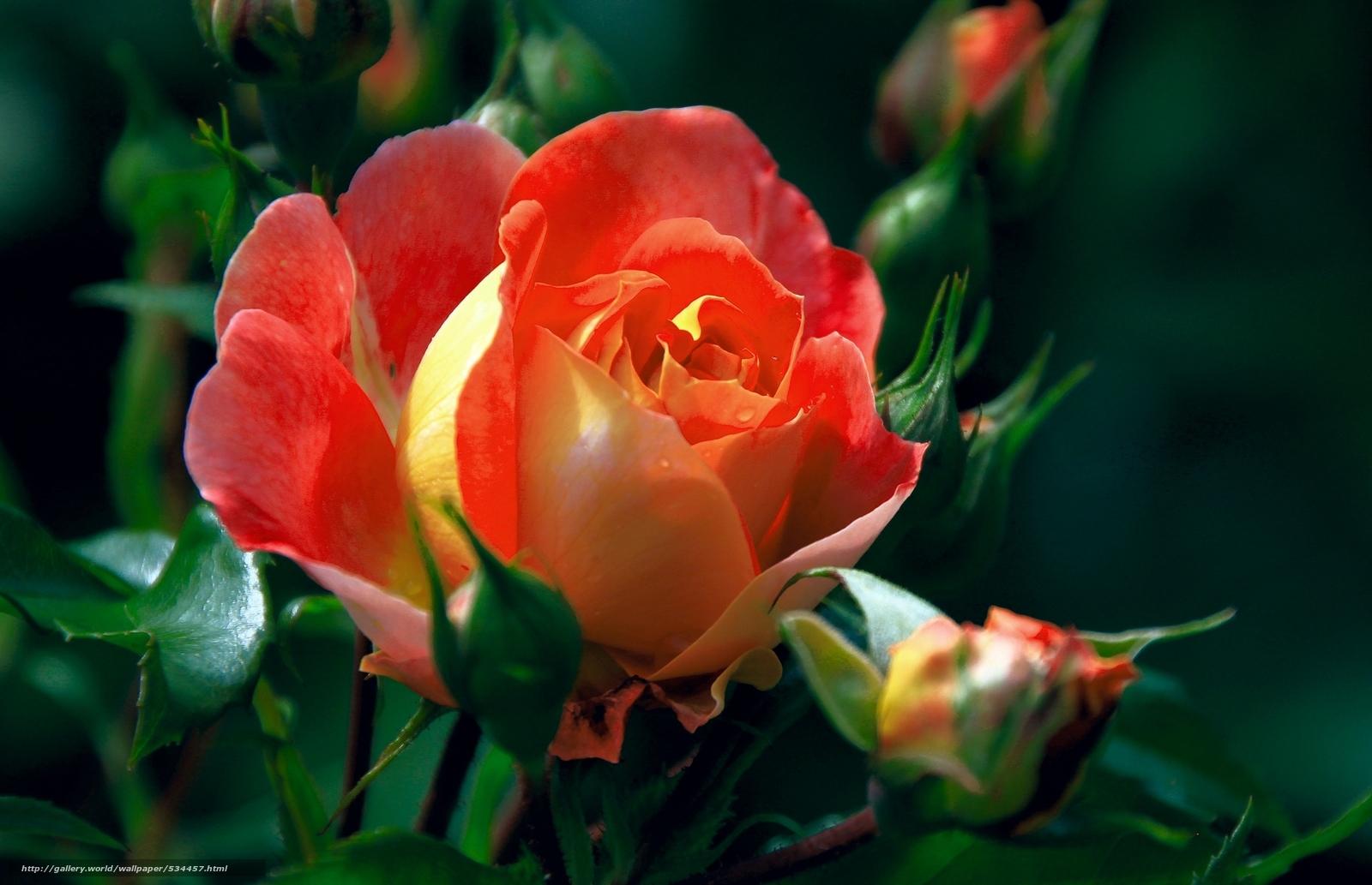 Descargar gratis brotes,  rosa,  Macro Fondos de escritorio en la resolucin 2048x1322 — imagen №534457