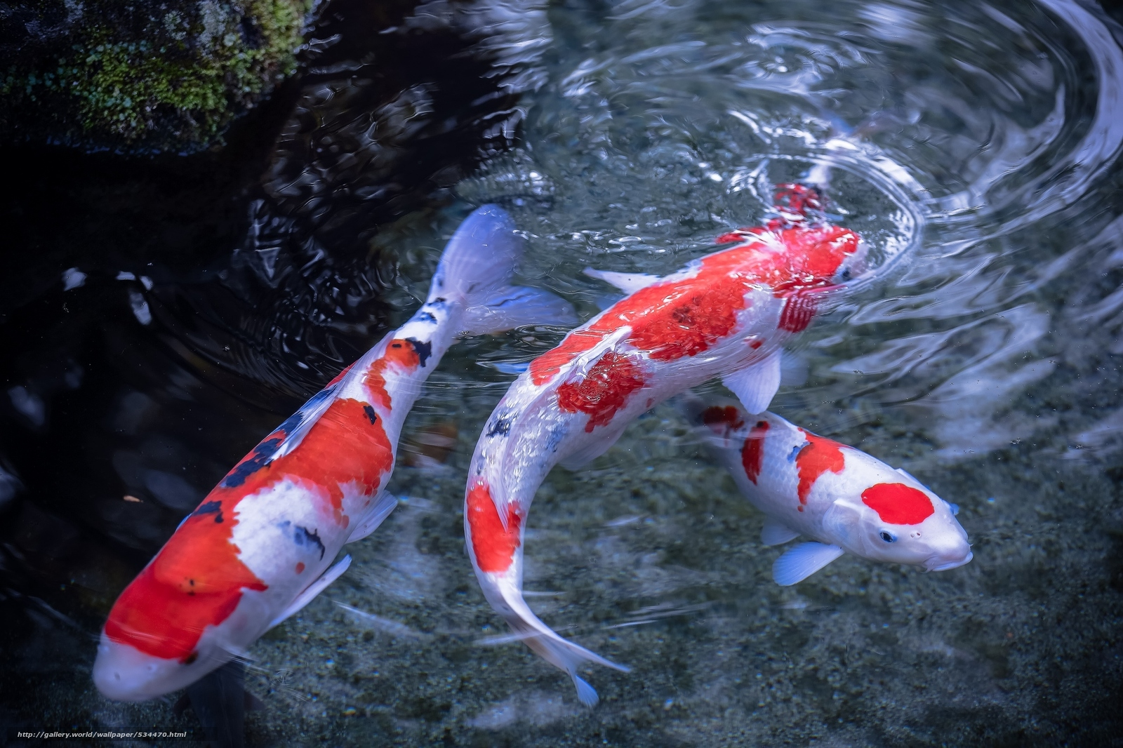 Download wallpaper koi,  Japanese carp,  water,  Fish free desktop wallpaper in the resolution 2048x1365 — picture №534470