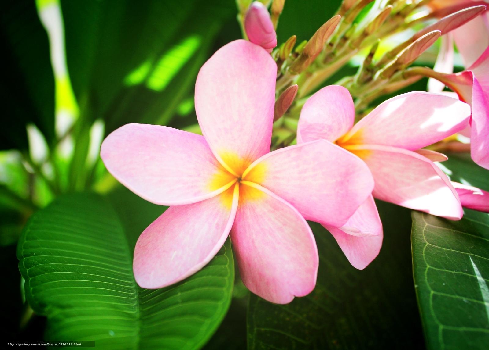 Скачать обои цветок,  екзотика,  розовый бесплатно для рабочего стола в разрешении 2400x1722 — картинка №536318