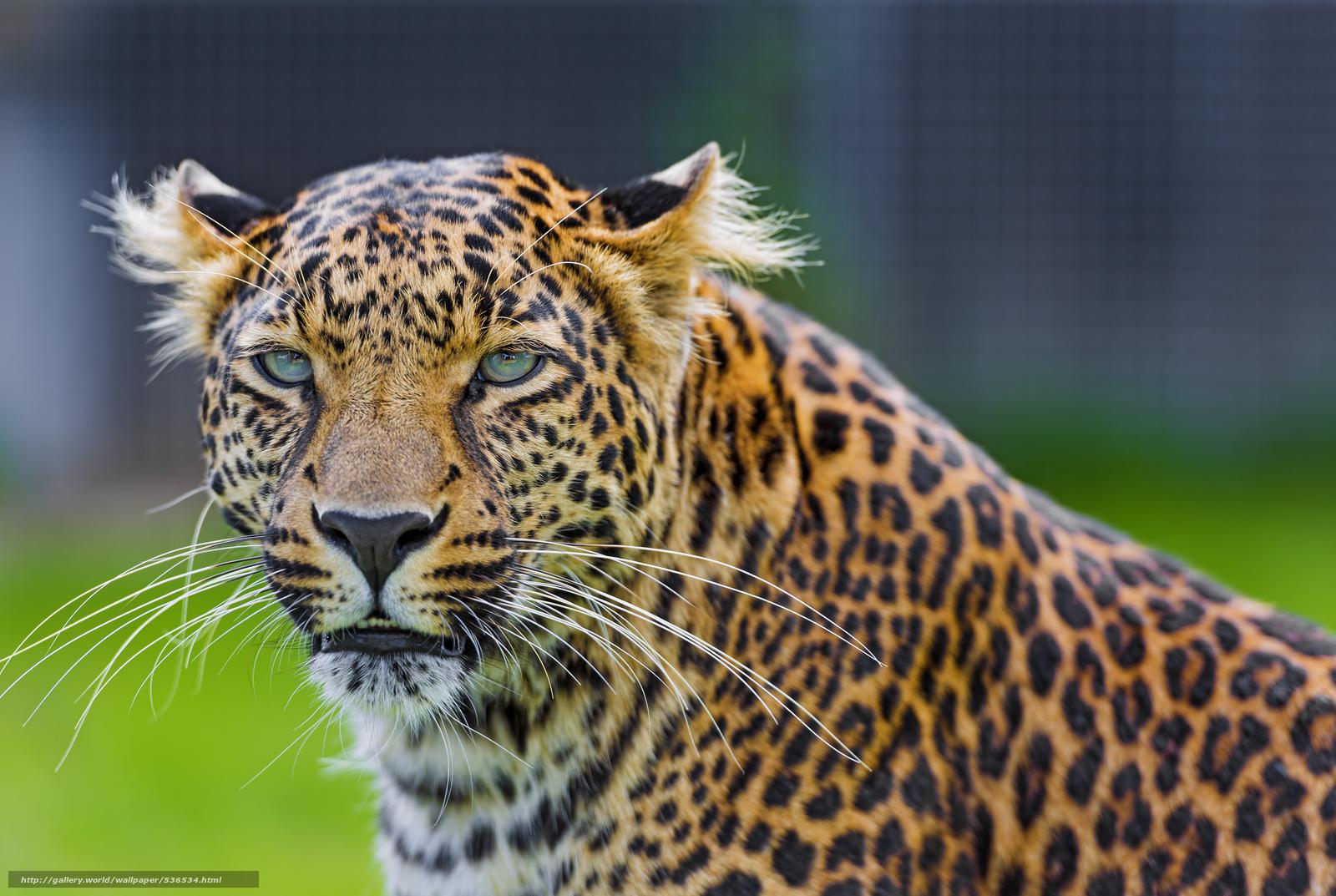 scaricare gli sfondi fumoso,  leopard,  visualizzare Sfondi gratis per la risoluzione del desktop 6773x4543 — immagine №536534