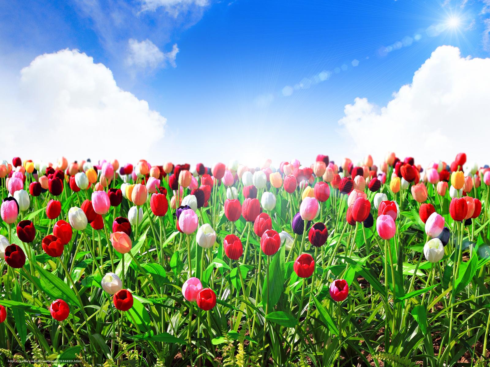 Где найти тюльпаны