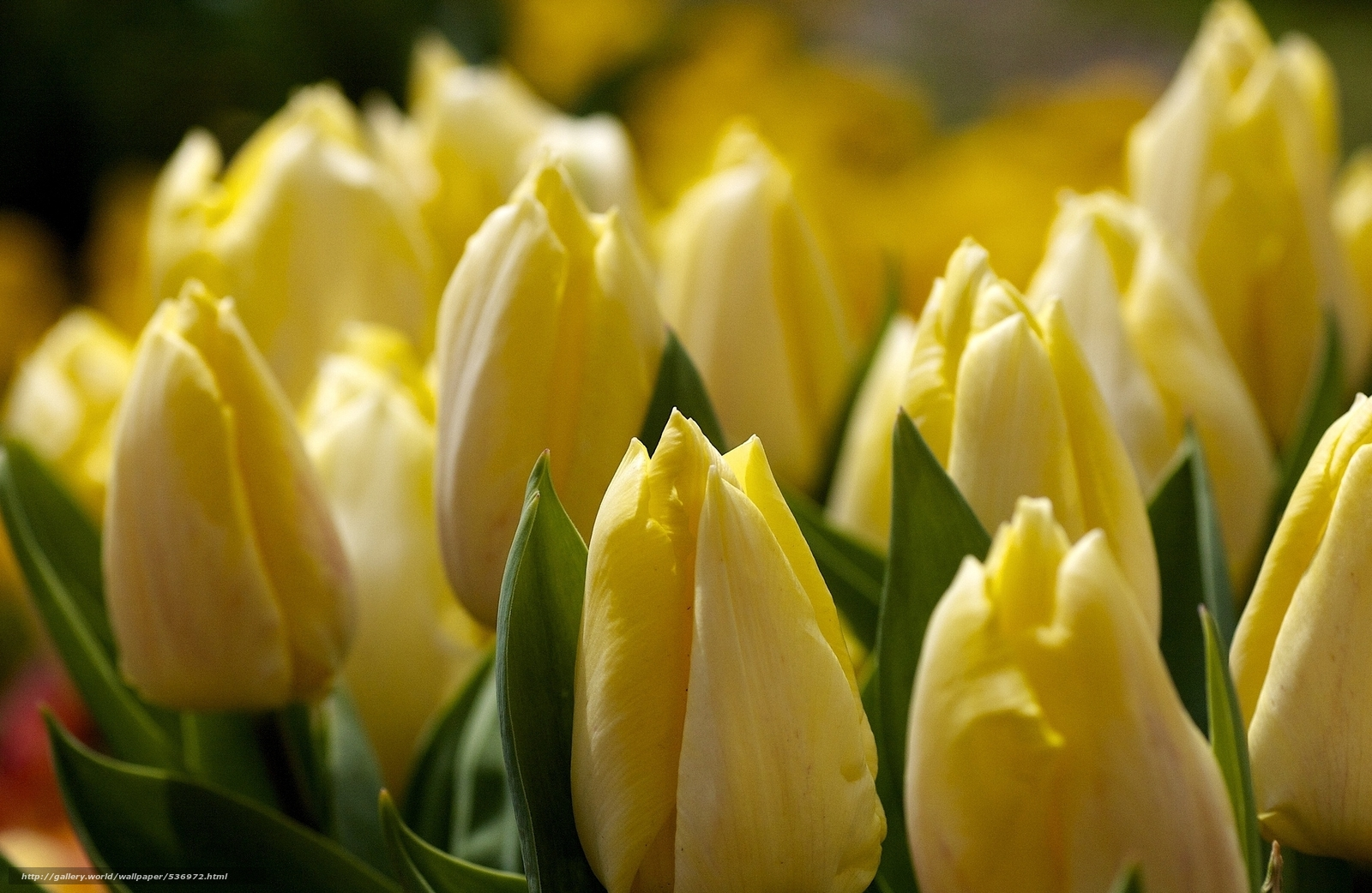 Скачать желтые тюльпаны
