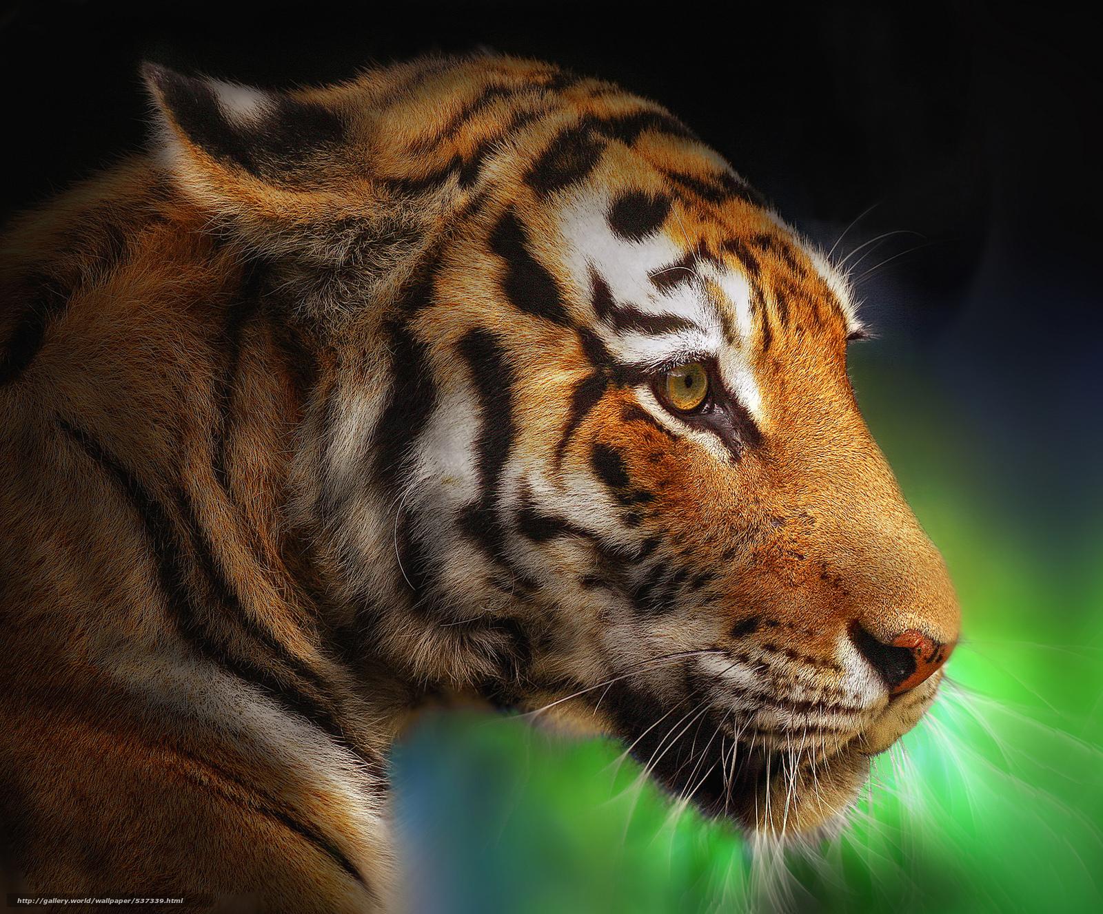 Tlcharger Fond D Ecran Tiger Dimension Tigre Profil