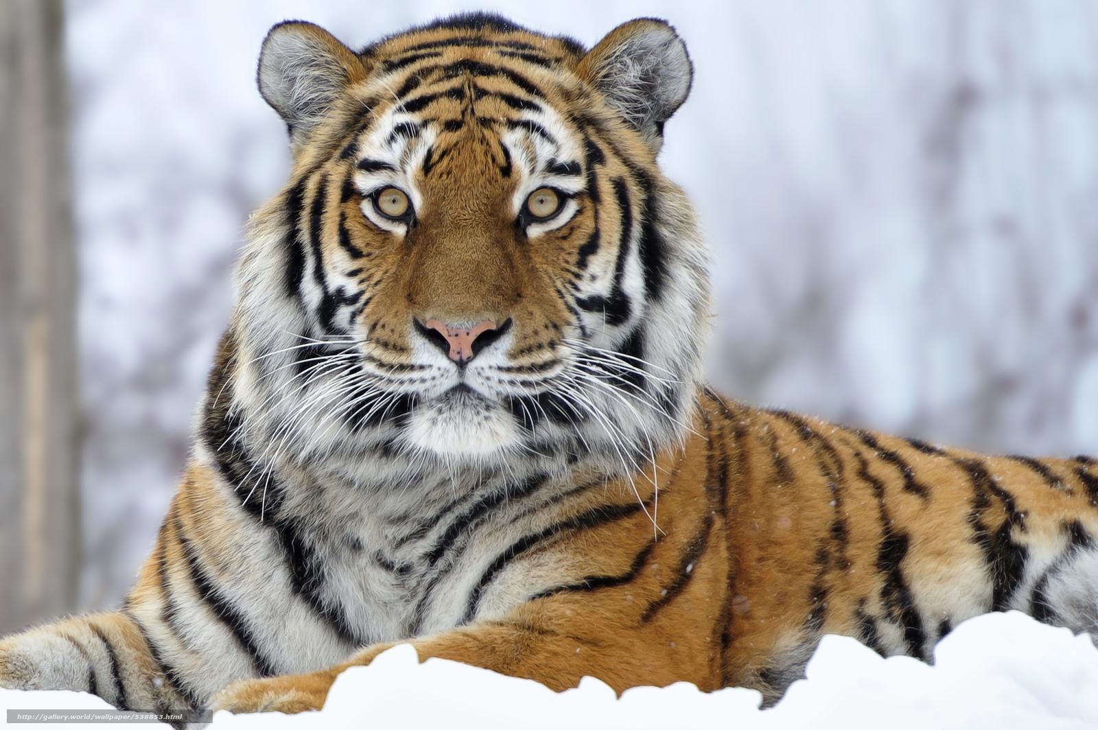 download wallpaper tiger, sitting, snow free desktop wallpaper in
