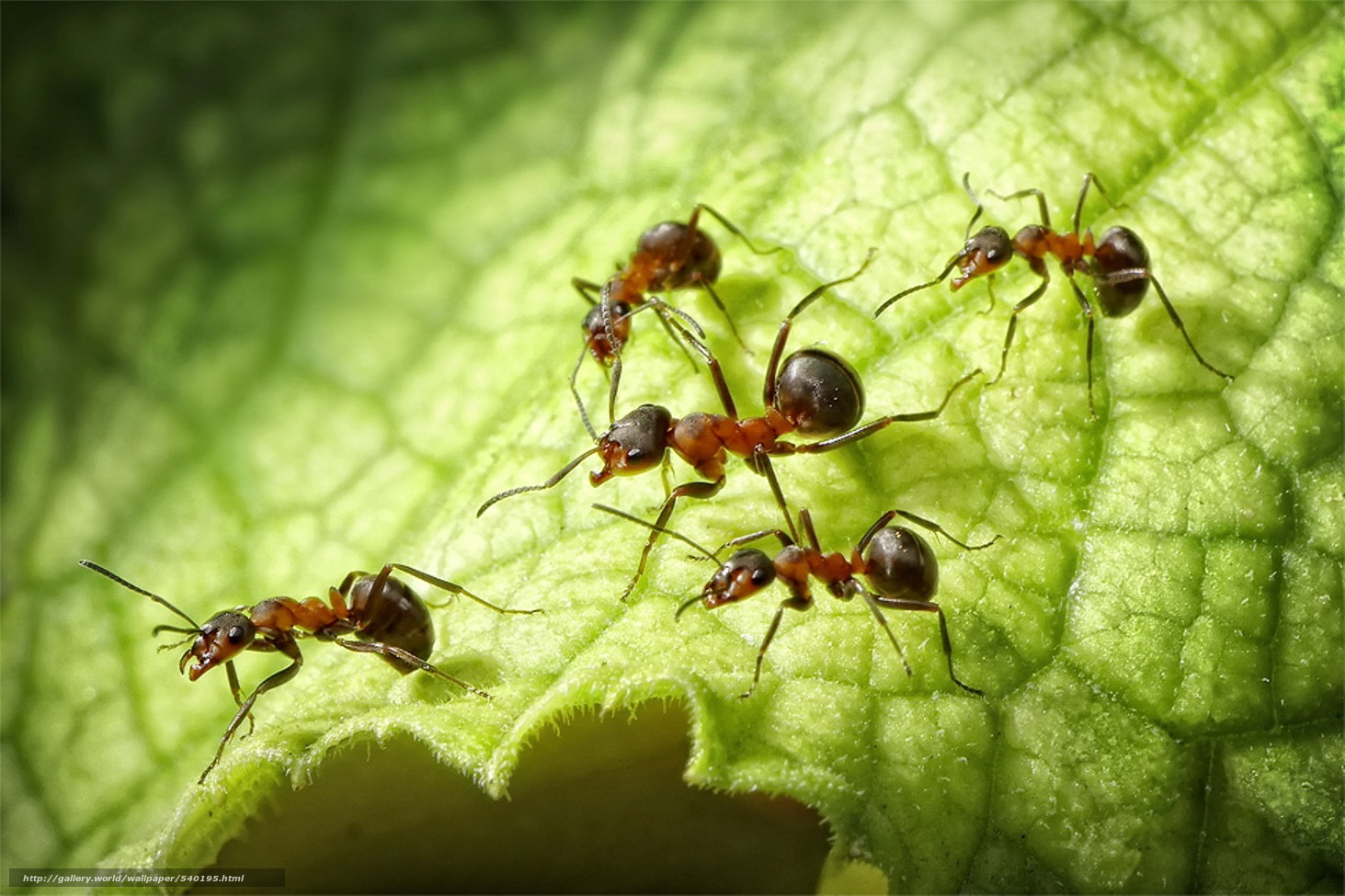 ant macro photography wallpaper - photo #37