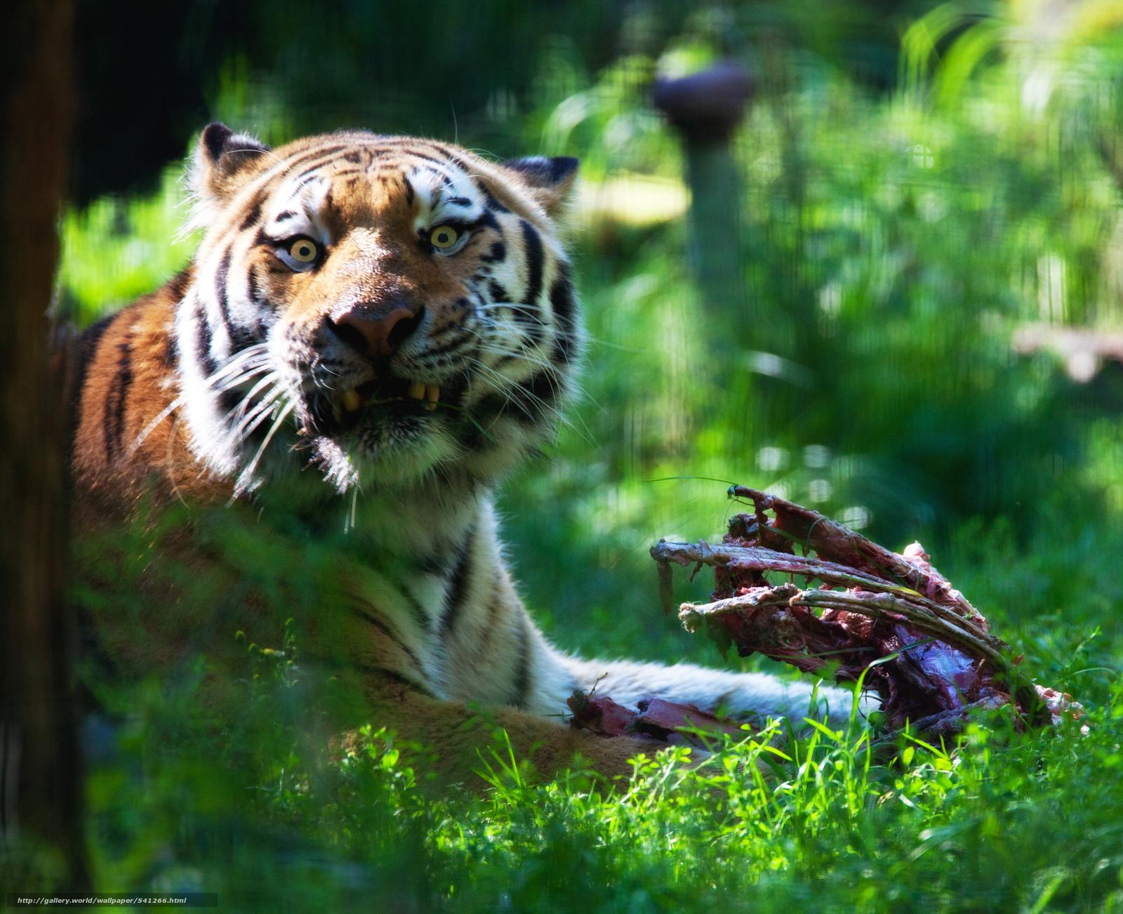 scaricare gli sfondi Tiger,  alaska,  Zoo Sfondi gratis per la risoluzione del desktop 8389x6828 — immagine №541266