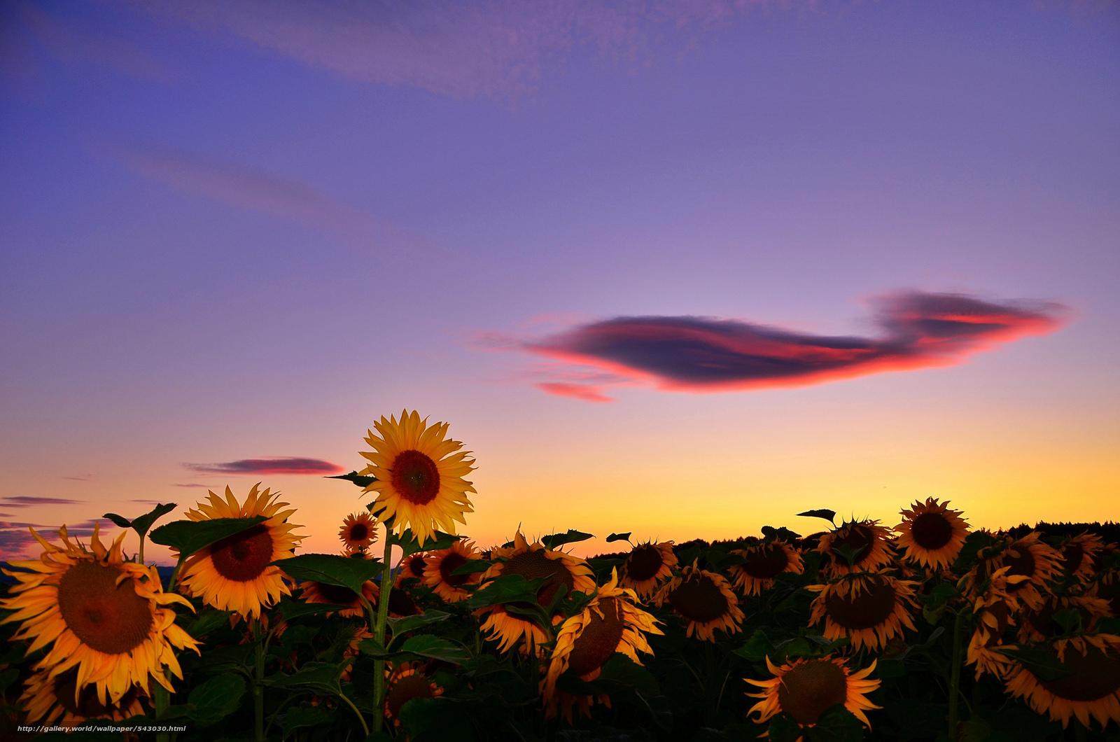 Scaricare gli sfondi campo girasoli tramonto nuvola for Girasoli tumblr