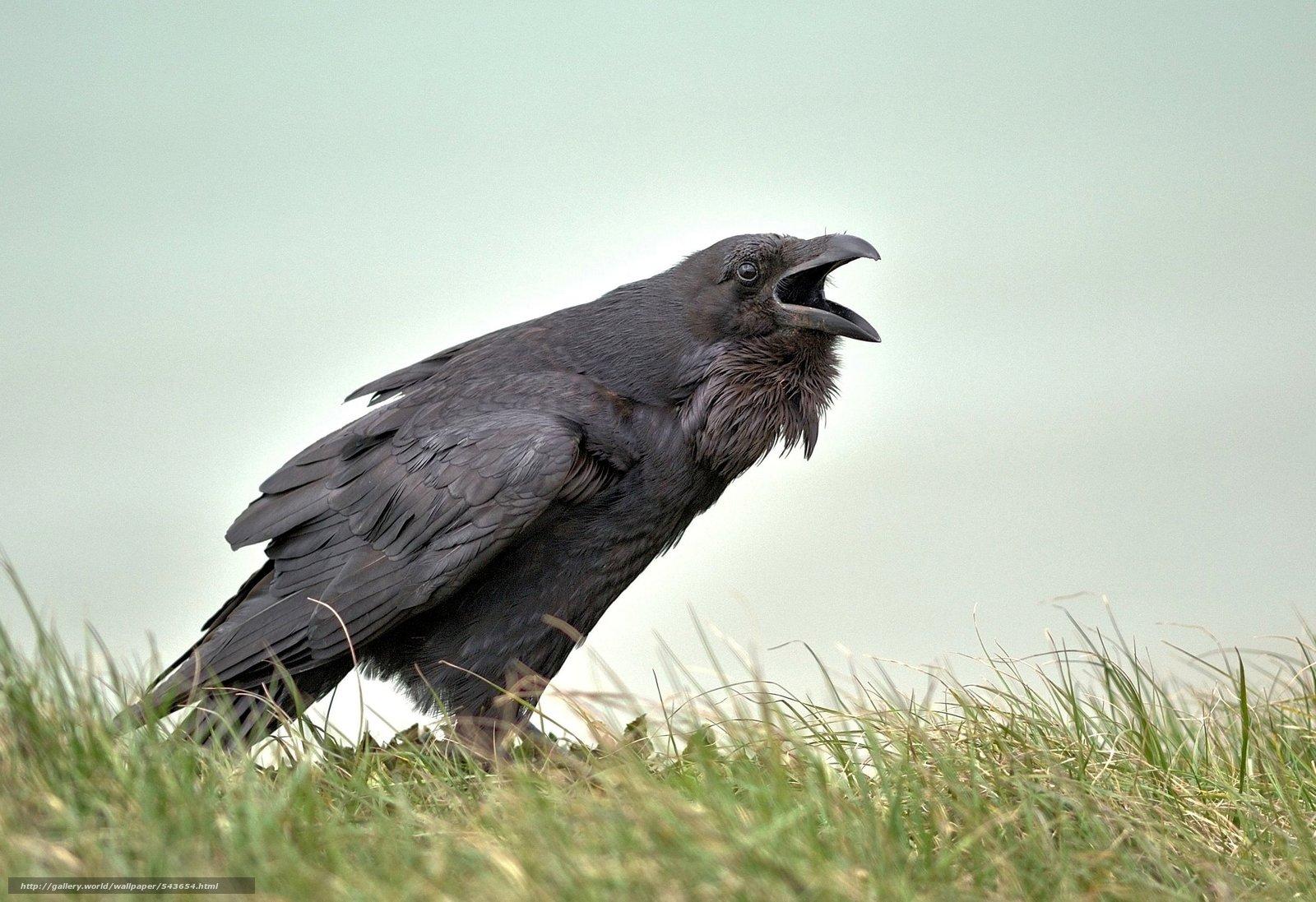 scaricare gli sfondi Raven,  cornacchia,  raven,  Seaford Sfondi gratis per la risoluzione del desktop 2752x1887 — immagine №543654