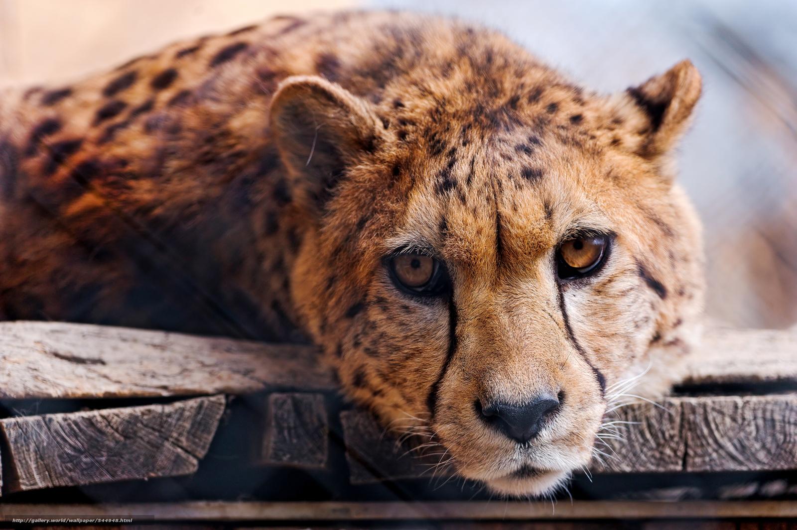 scaricare gli sfondi ghepardo,  Cheetah,  Zoo di Toni,  Hochdorf Sfondi gratis per la risoluzione del desktop 4256x2832 — immagine №544948