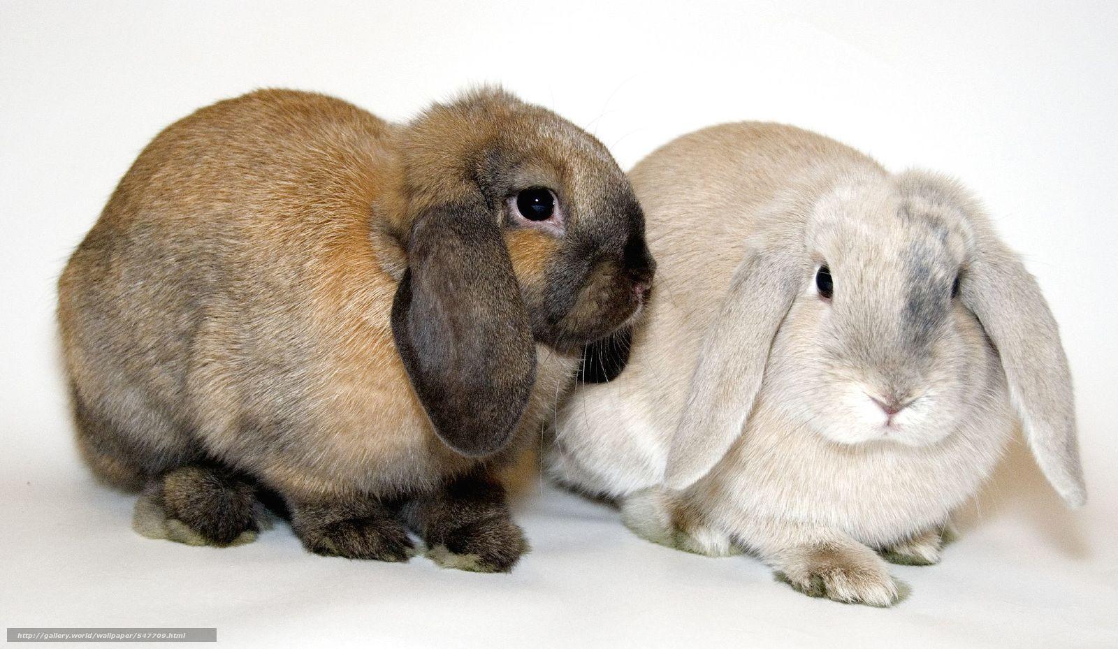 Скачать обои кролики,  вислоухие,  животные бесплатно для рабочего стола в разрешении 2048x1189 — картинка №547709