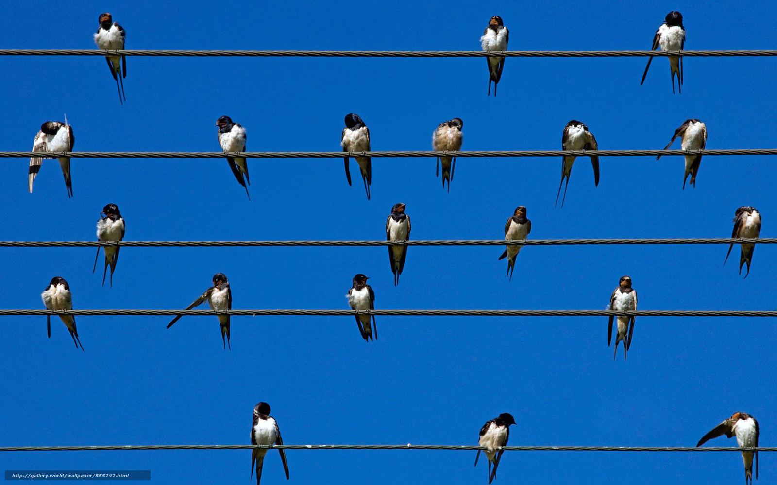 tlcharger fond d 39 ecran oiseaux martinets hirondelles. Black Bedroom Furniture Sets. Home Design Ideas