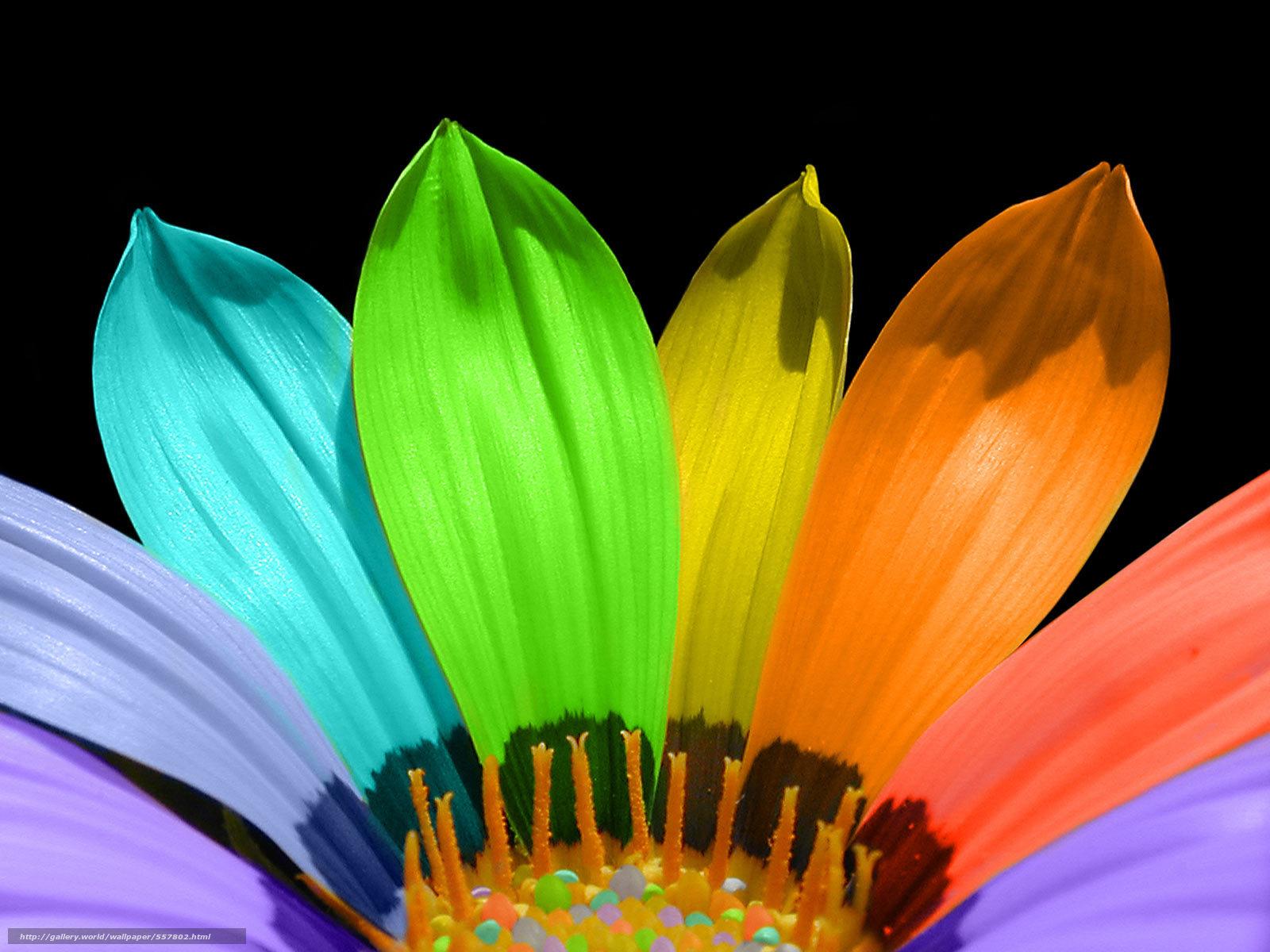 Скачать обои цветок,  лепестки,  радуга бесплатно для рабочего стола в разрешении 1600x1200 — картинка №557802