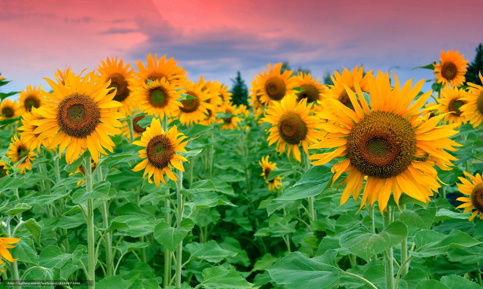 Scaricare gli sfondi campo girasoli fiori sfondi gratis for Immagini per desktop fiori