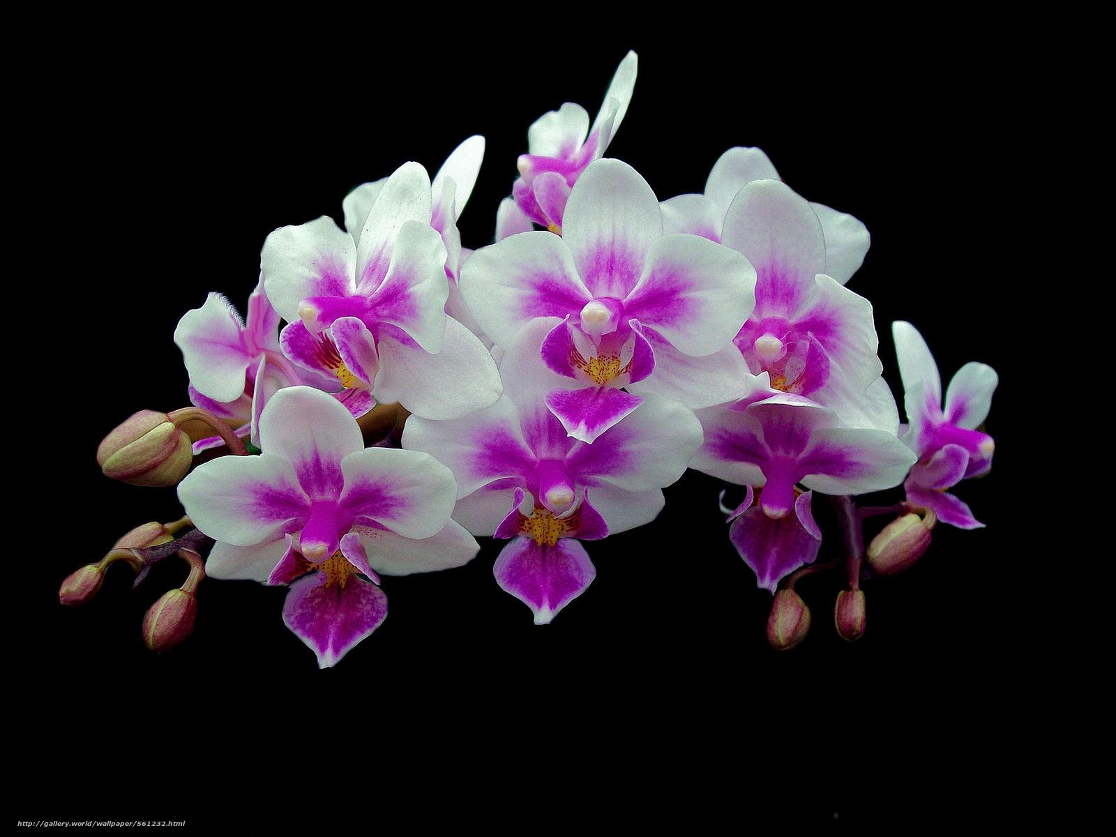 Tlcharger Fond D Ecran Orchidee Fleur Flore Fonds D Ecran