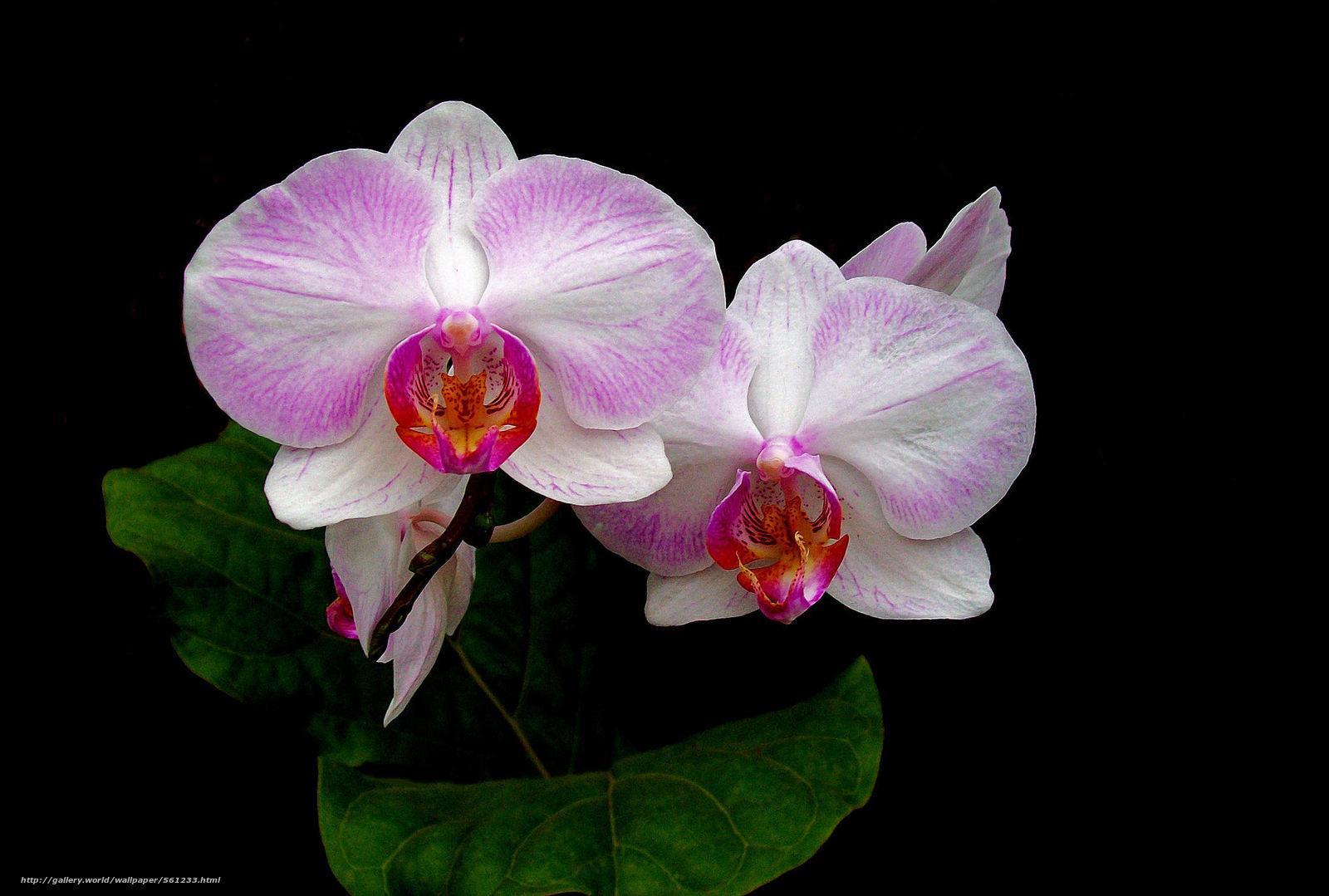 Скачать обои орхидея,  цветок,  флора бесплатно для рабочего стола в разрешении 2081x1404 — картинка №561233