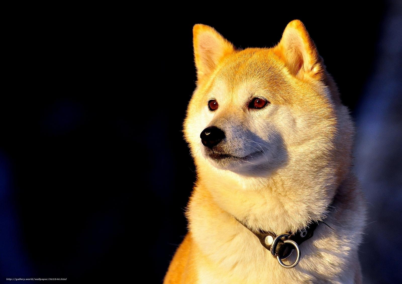 Скачать обои Сиба-ину,  ошейник,  собака бесплатно для рабочего стола в разрешении 1920x1357 — картинка №563546