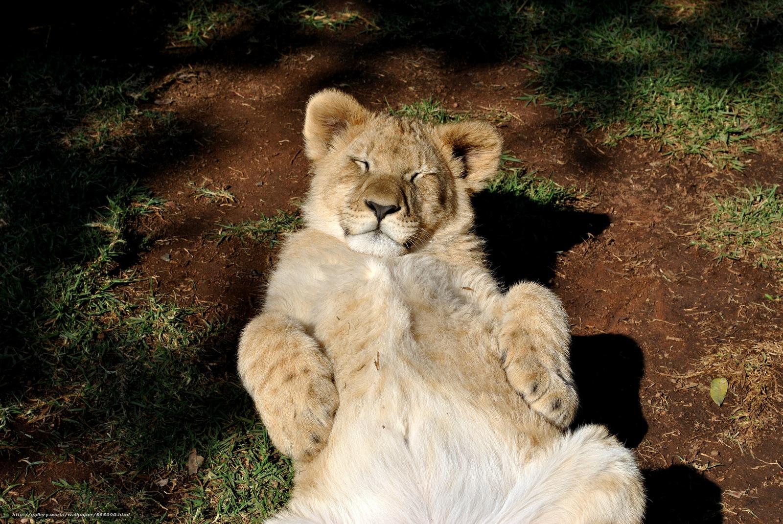 Wallpaper download lion - Tlcharger Fond D Ecran Cat R 233 Cr 233 Ation Lionet Lion Fonds