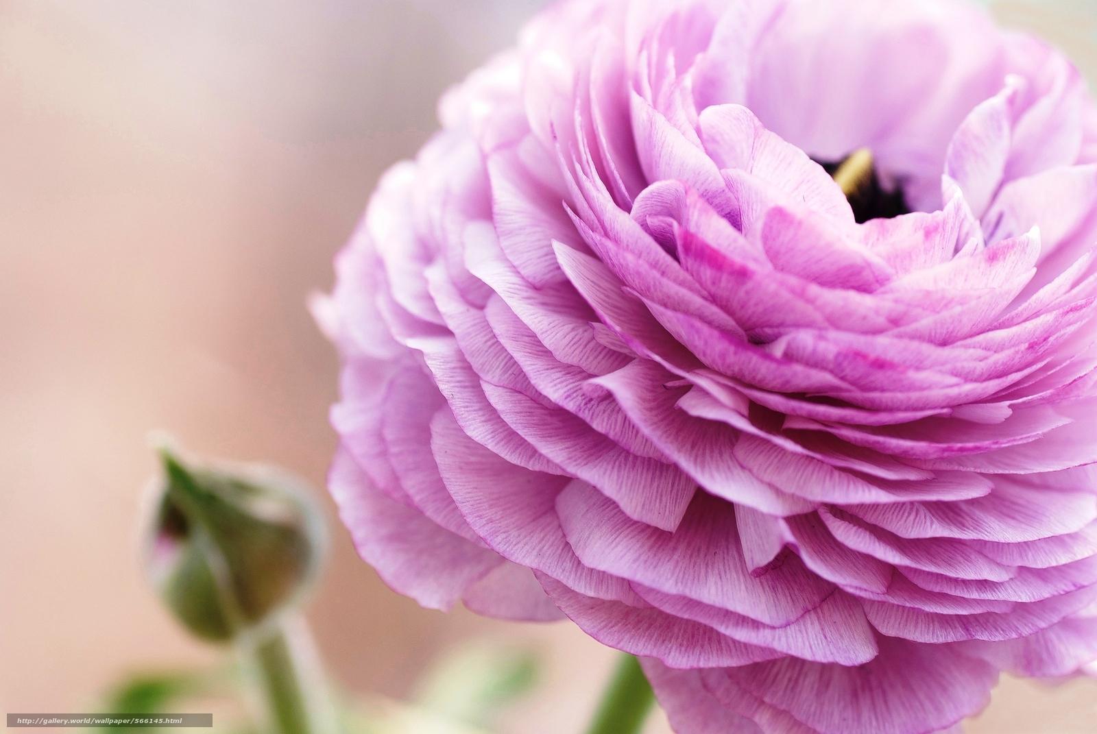 Скачать обои лепестки,  цветок,  розовый,  макро бесплатно для рабочего стола в разрешении 2048x1371 — картинка №566145