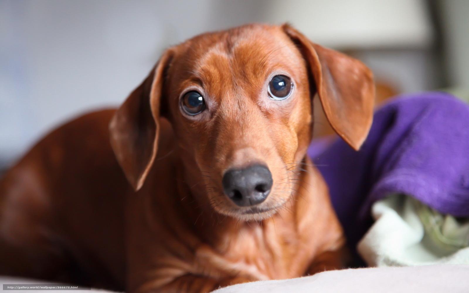 下载壁纸 狗,  视图,  背景 免费为您的桌面分辨率的壁纸 1920x1200 — 图片 №566675