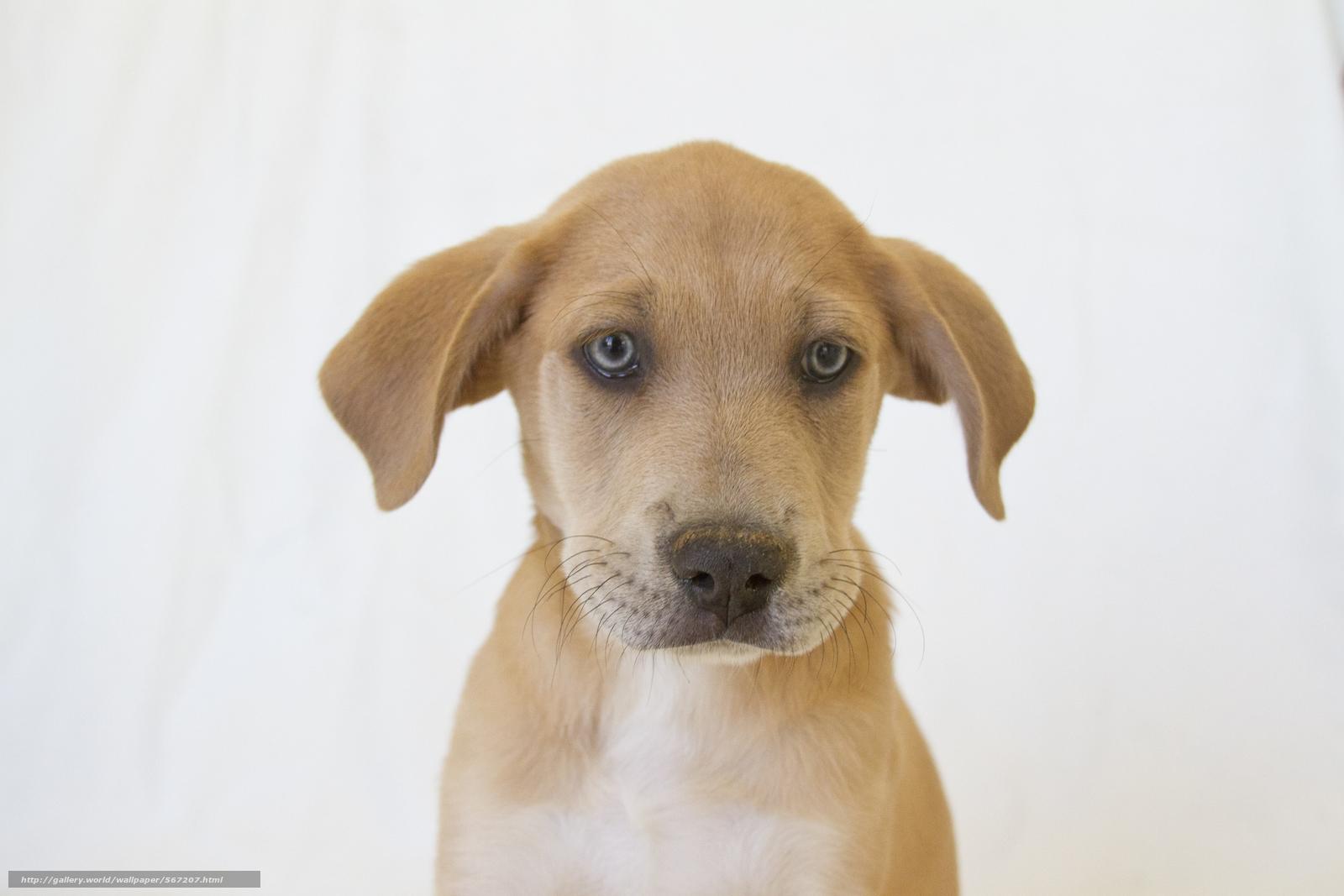 Скачать обои пёс,  собака,  белый фон,  щенок бесплатно для рабочего стола в разрешении 3000x2000 — картинка №567207